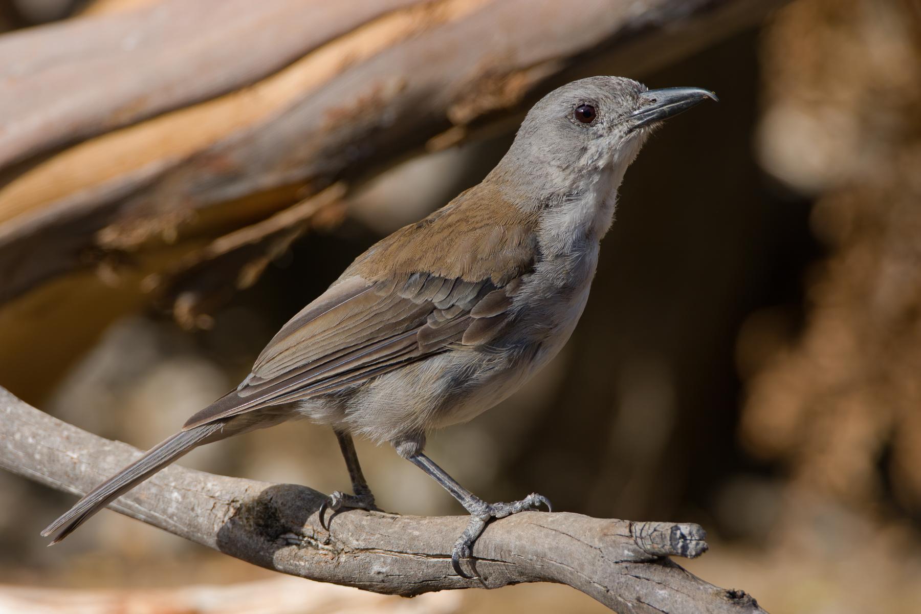 Grey Shrike-thrush (Image ID 41205)