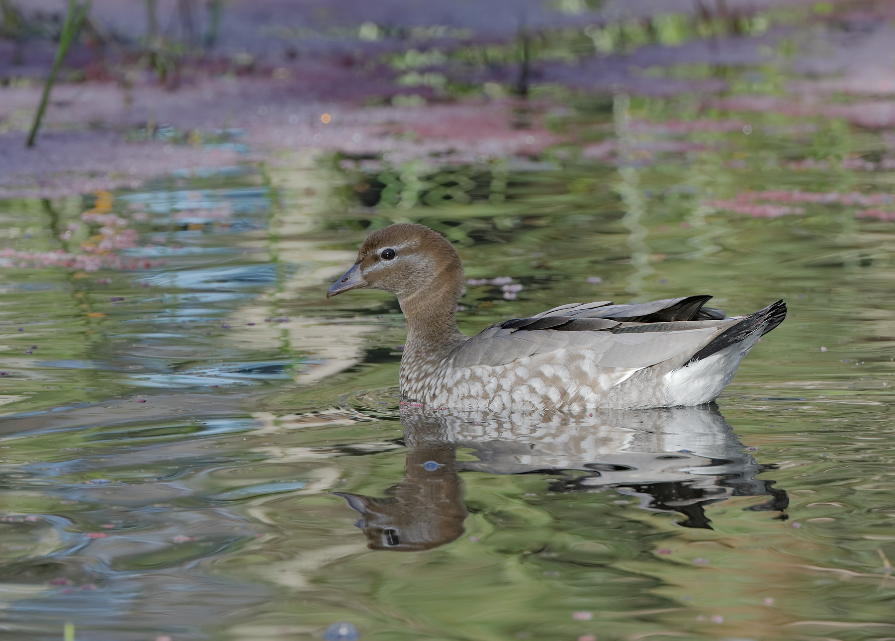 Australian Wood Duck (Image ID 41207)
