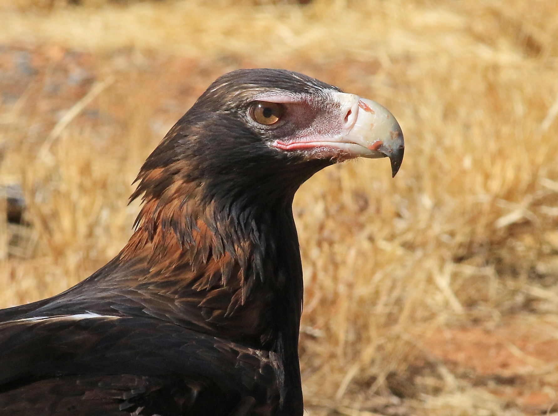 Wedge-tailed Eagle (Image ID 41302)