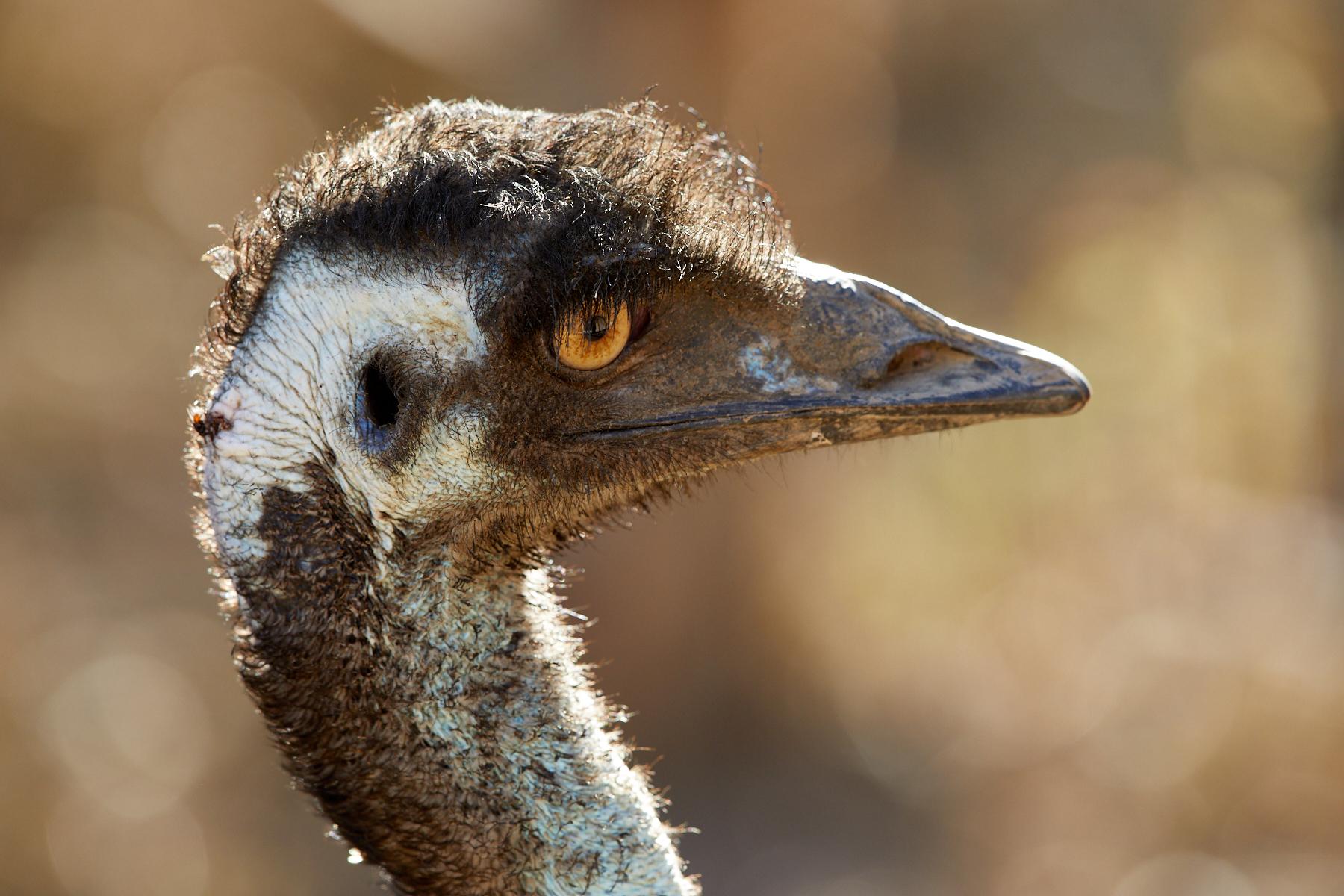 Emu (Image ID 41250)