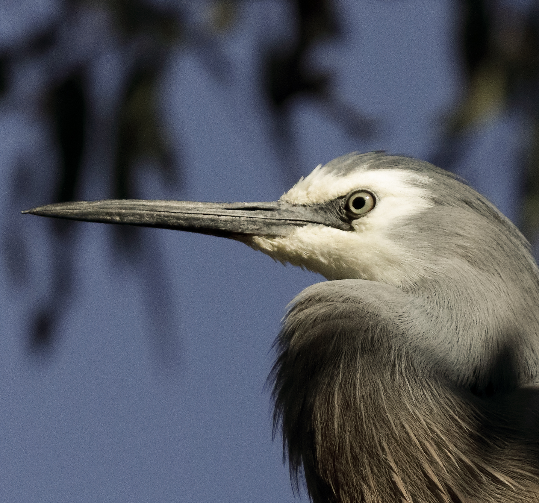 White-faced Heron (Image ID 41352)