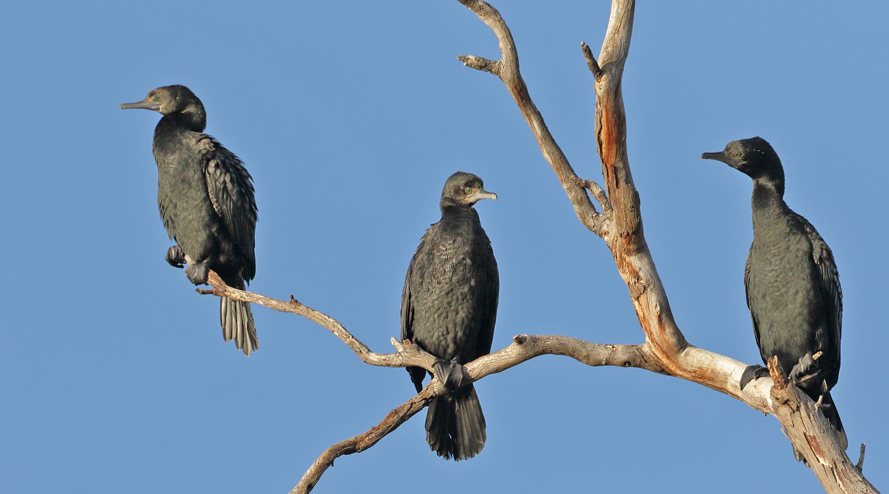 Little Black Cormorant (Image ID 41372)