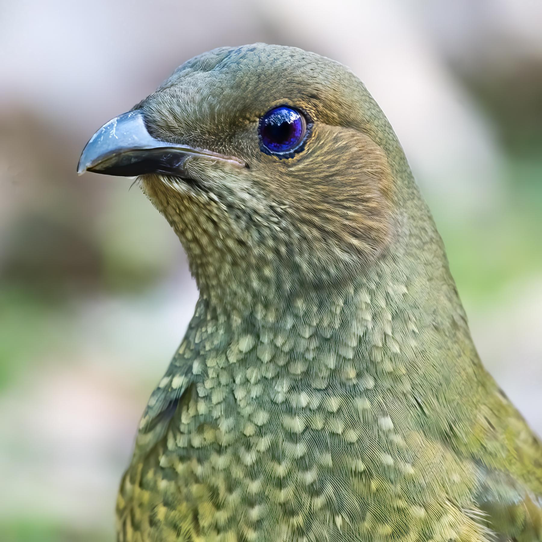 Satin Bowerbird (Image ID 41794)