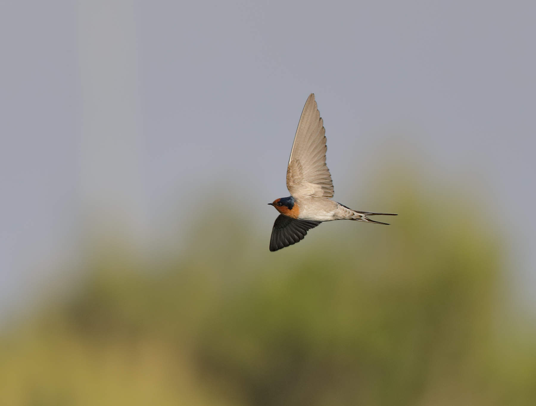 Welcome Swallow (Image ID 41662)