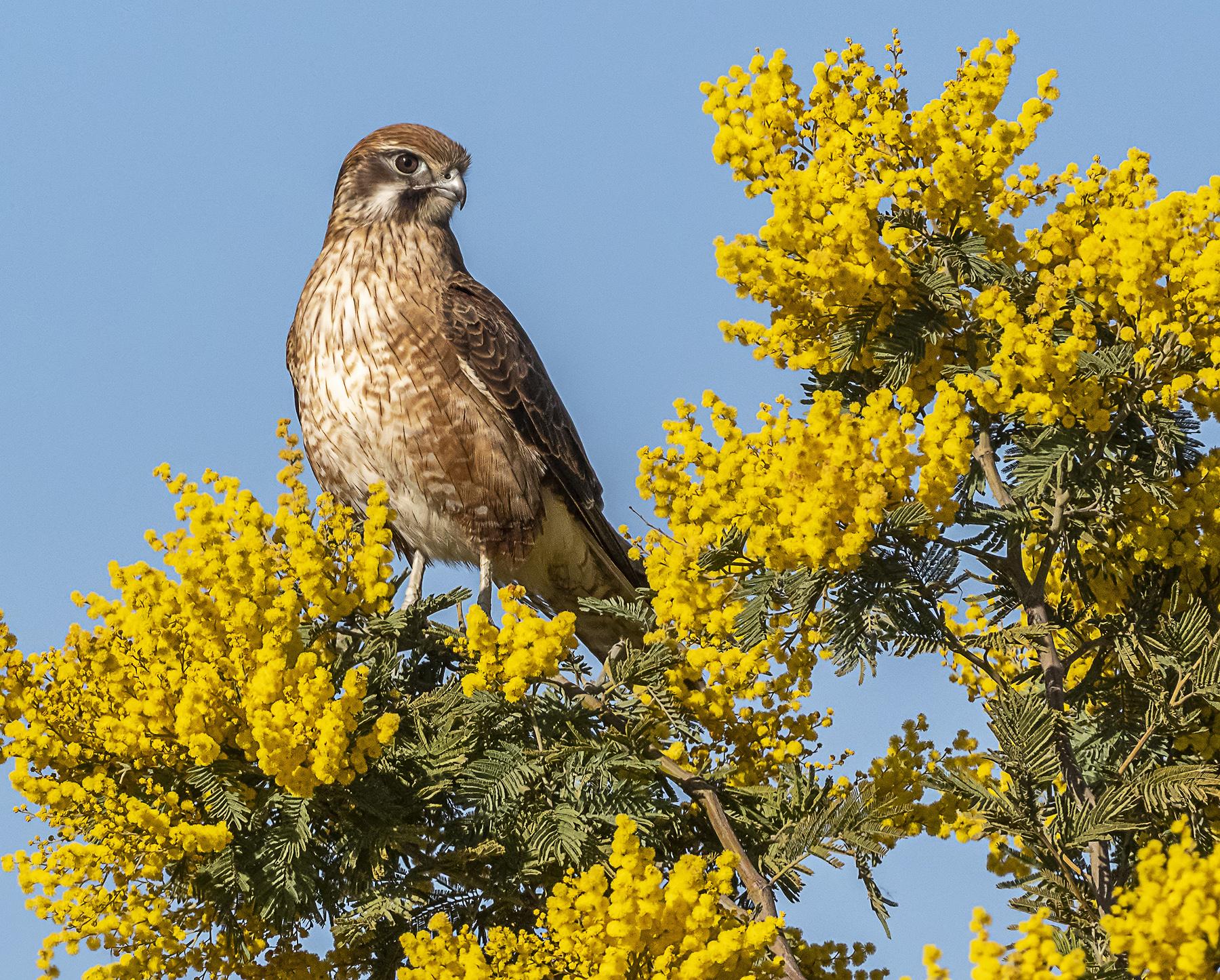 Brown Falcon (Image ID 41764)