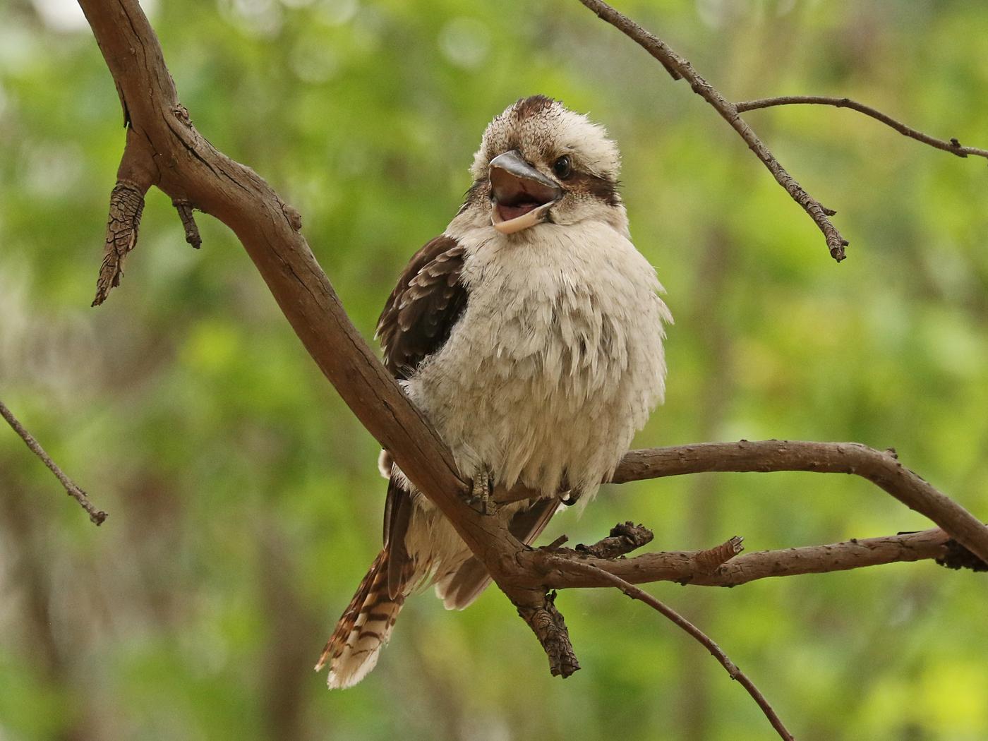 Laughing Kookaburra (Image ID 42045)