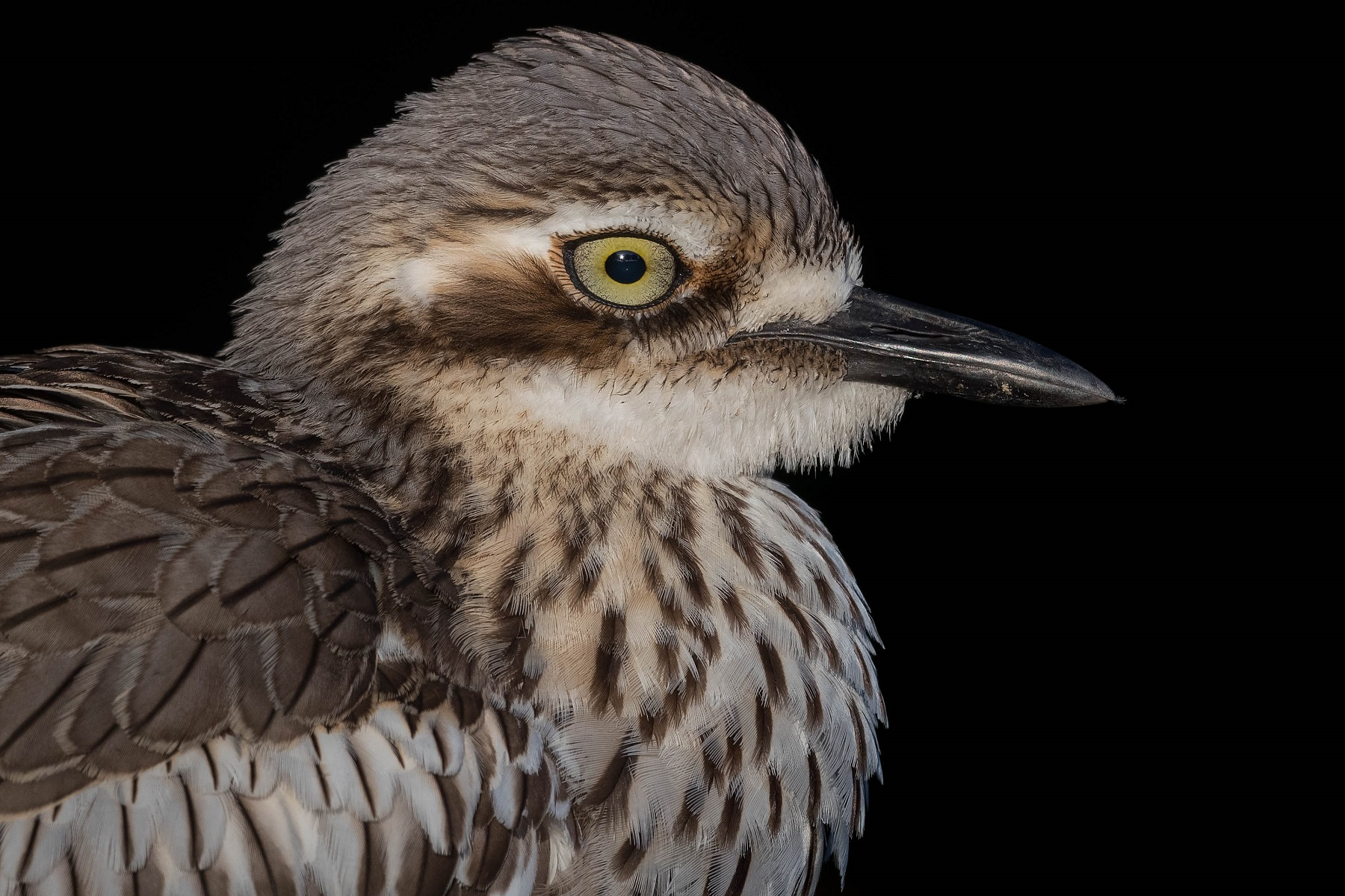 Bush Stone-curlew (Image ID 41814)
