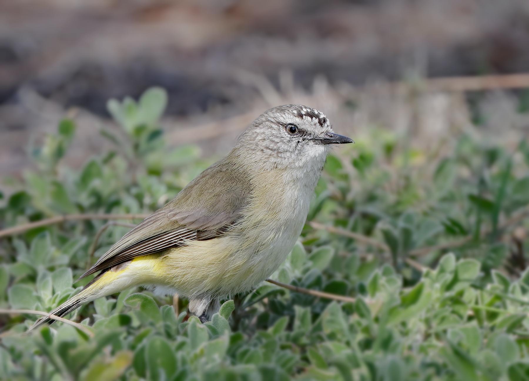 Yellow-rumped Thornbill (Image ID 41942)