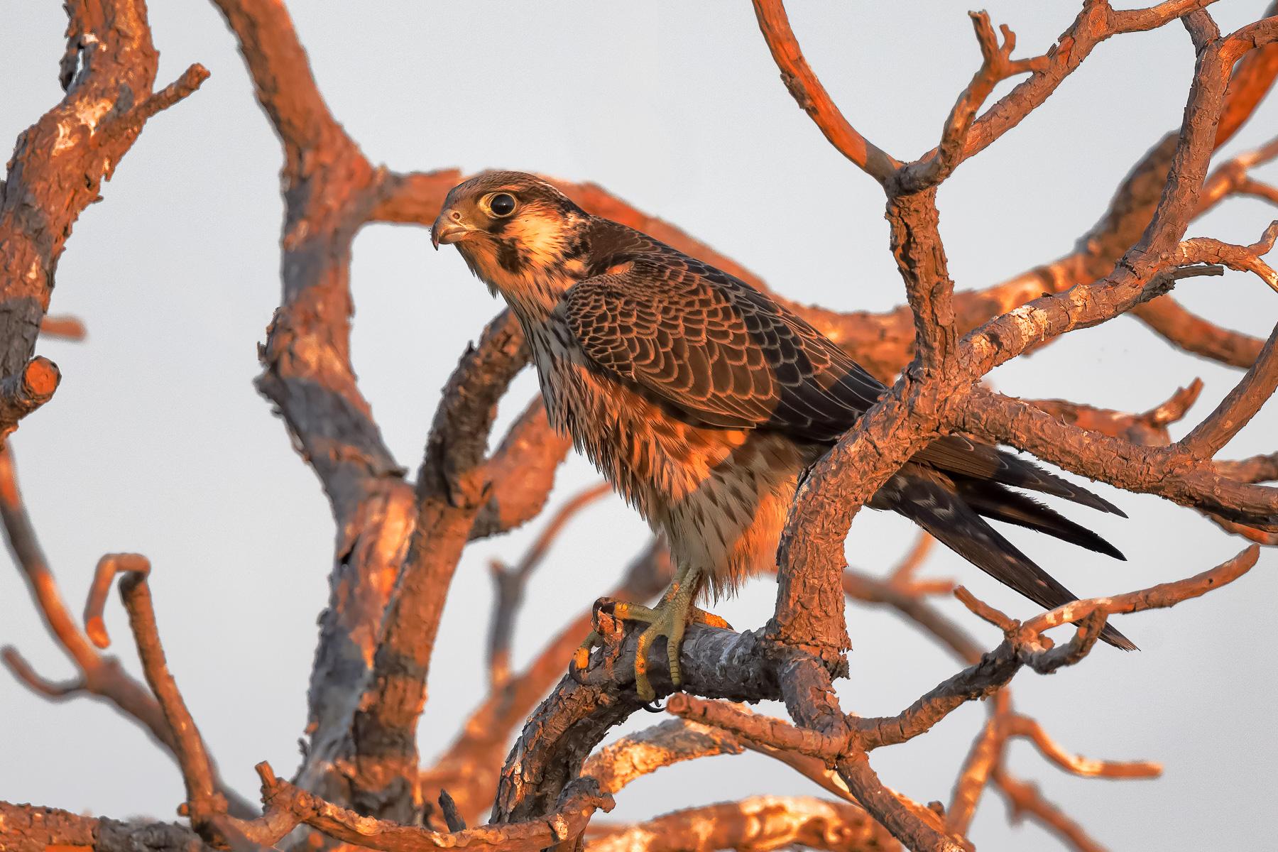 Peregrine Falcon (Image ID 41601)