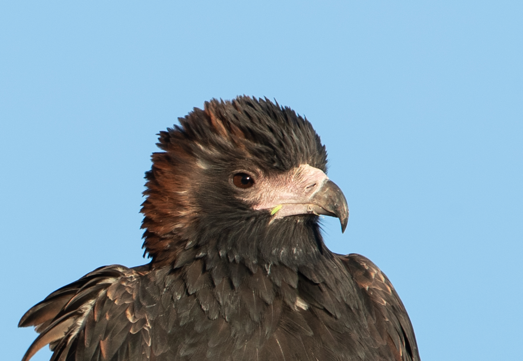 Black-breasted Buzzard (Image ID 41832)