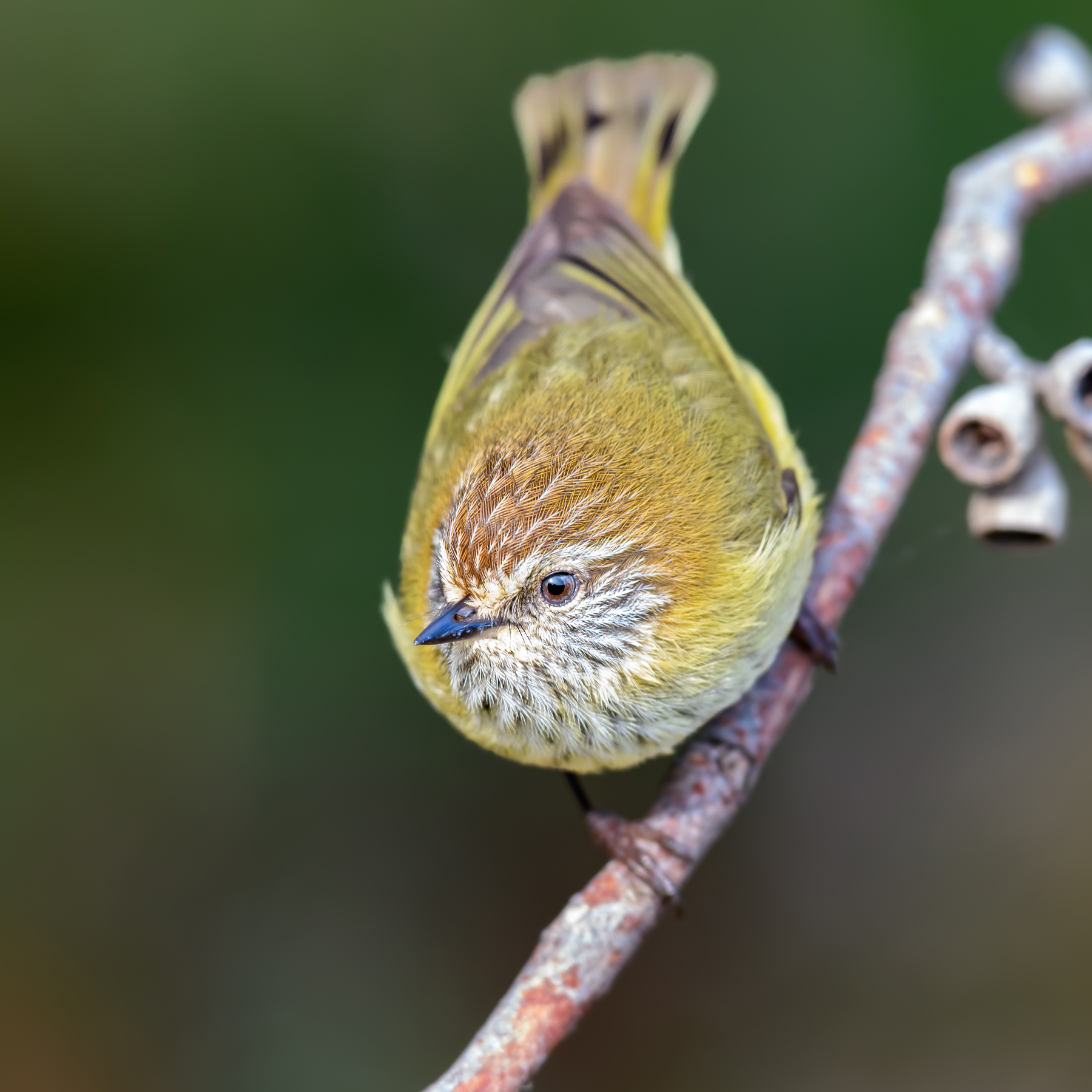 Striated Thornbill (Image ID 41901)