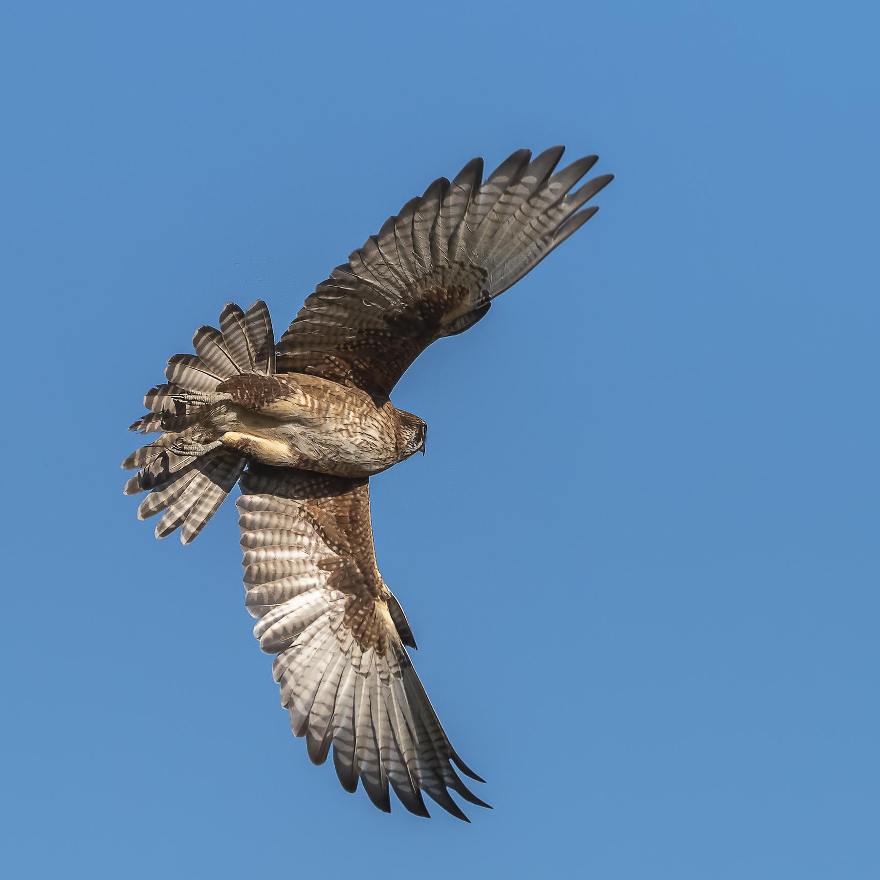 Brown Falcon (Image ID 41595)