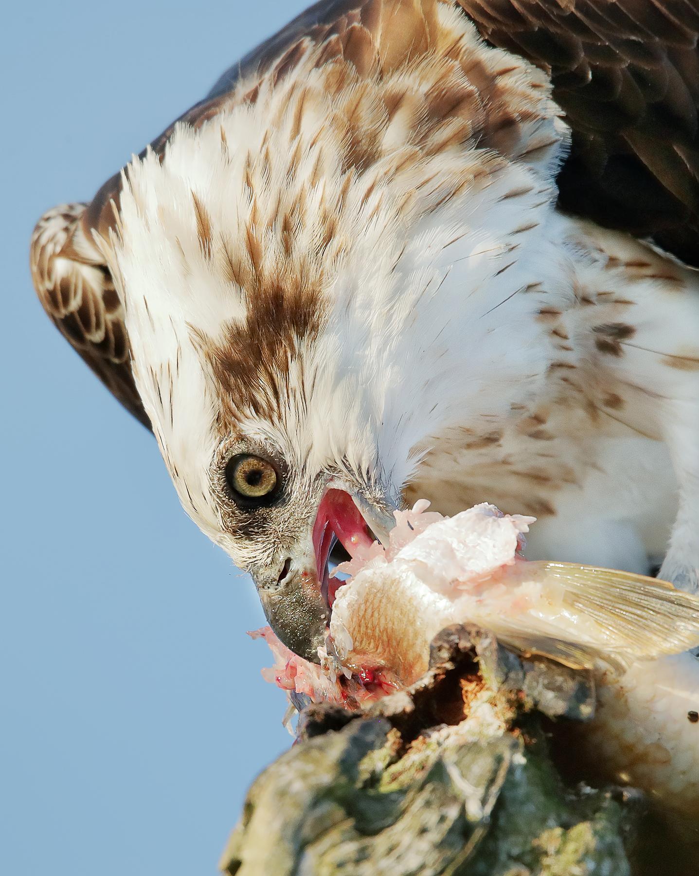 Osprey (Image ID 41776)