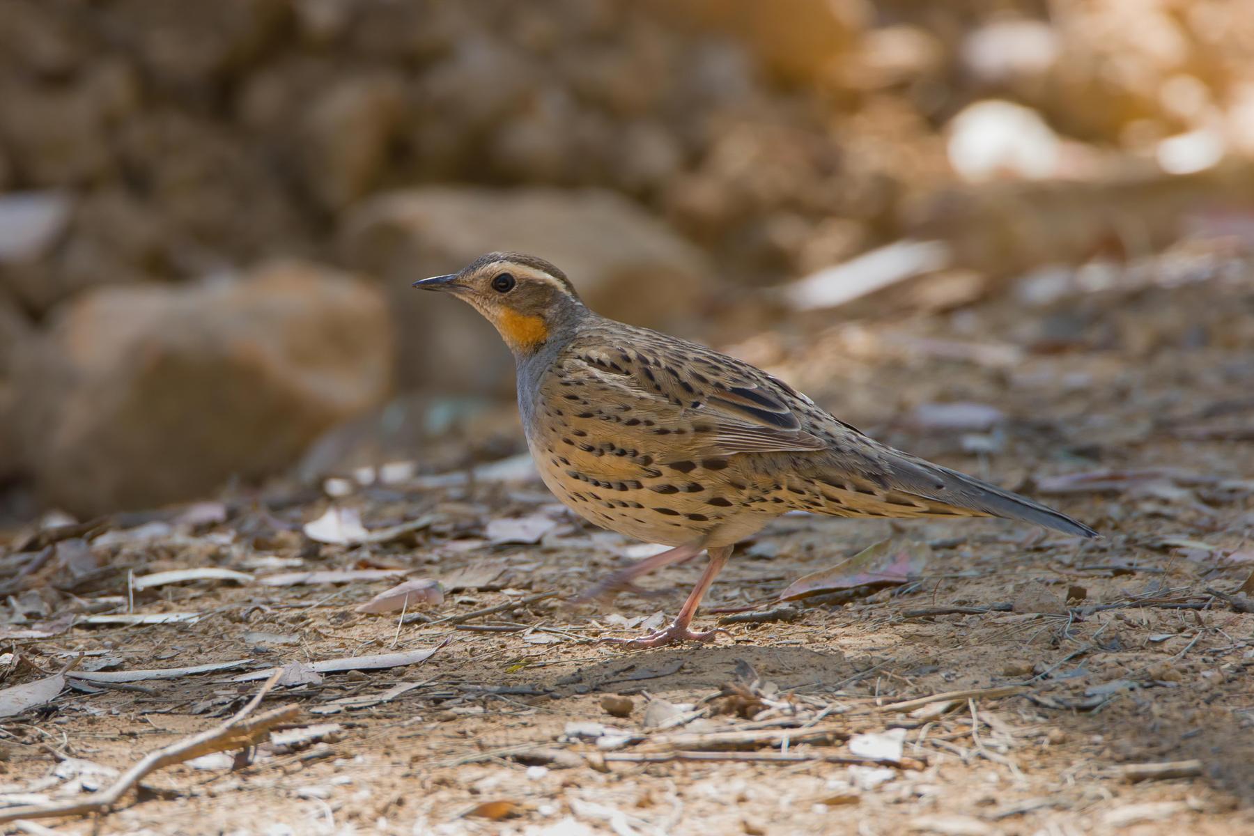 Spotted Quail-thrush (Image ID 41861)