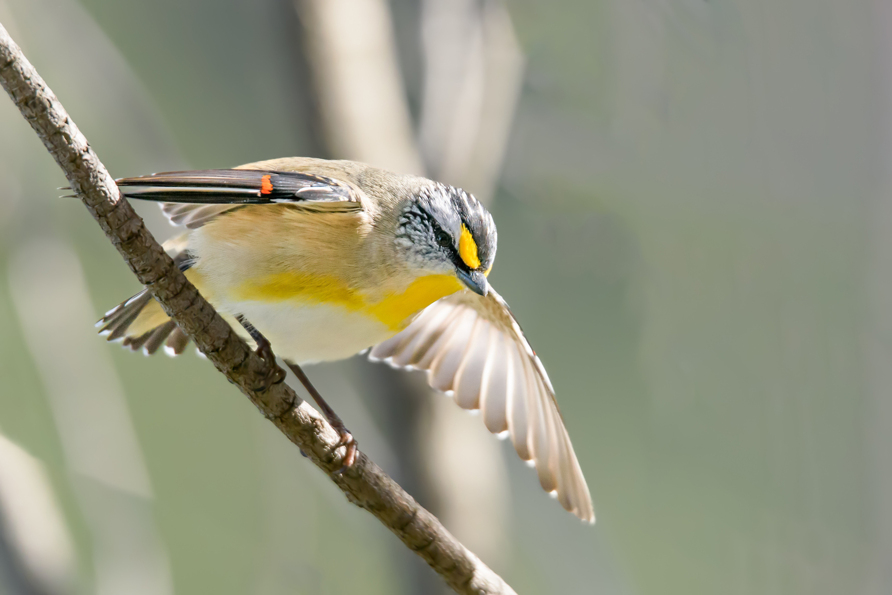 Striated Pardalote (Image ID 42123)