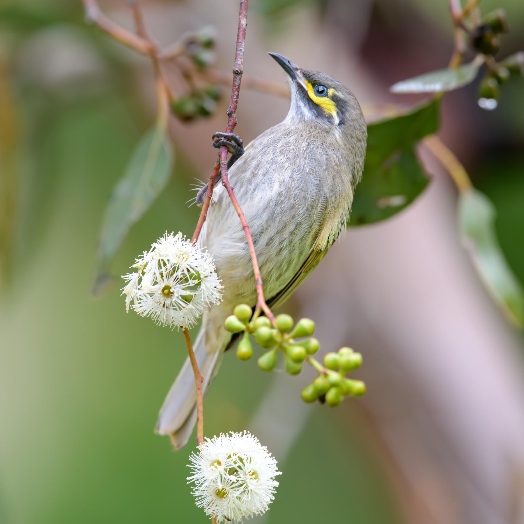 Yellow-faced Honeyeater (Image ID 42126)