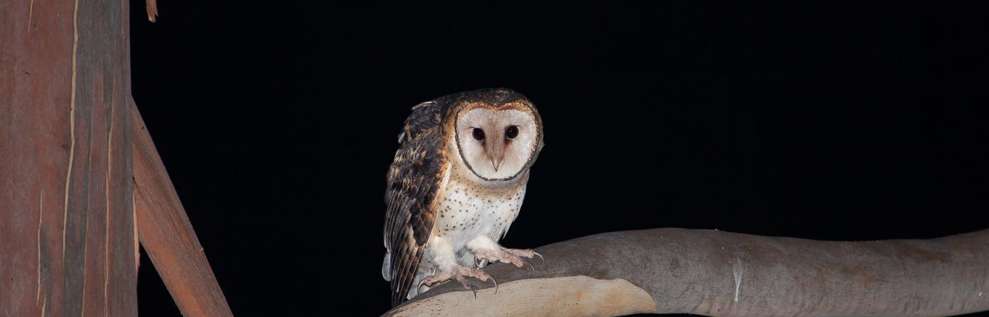 Masked Owl (Image ID 42171)