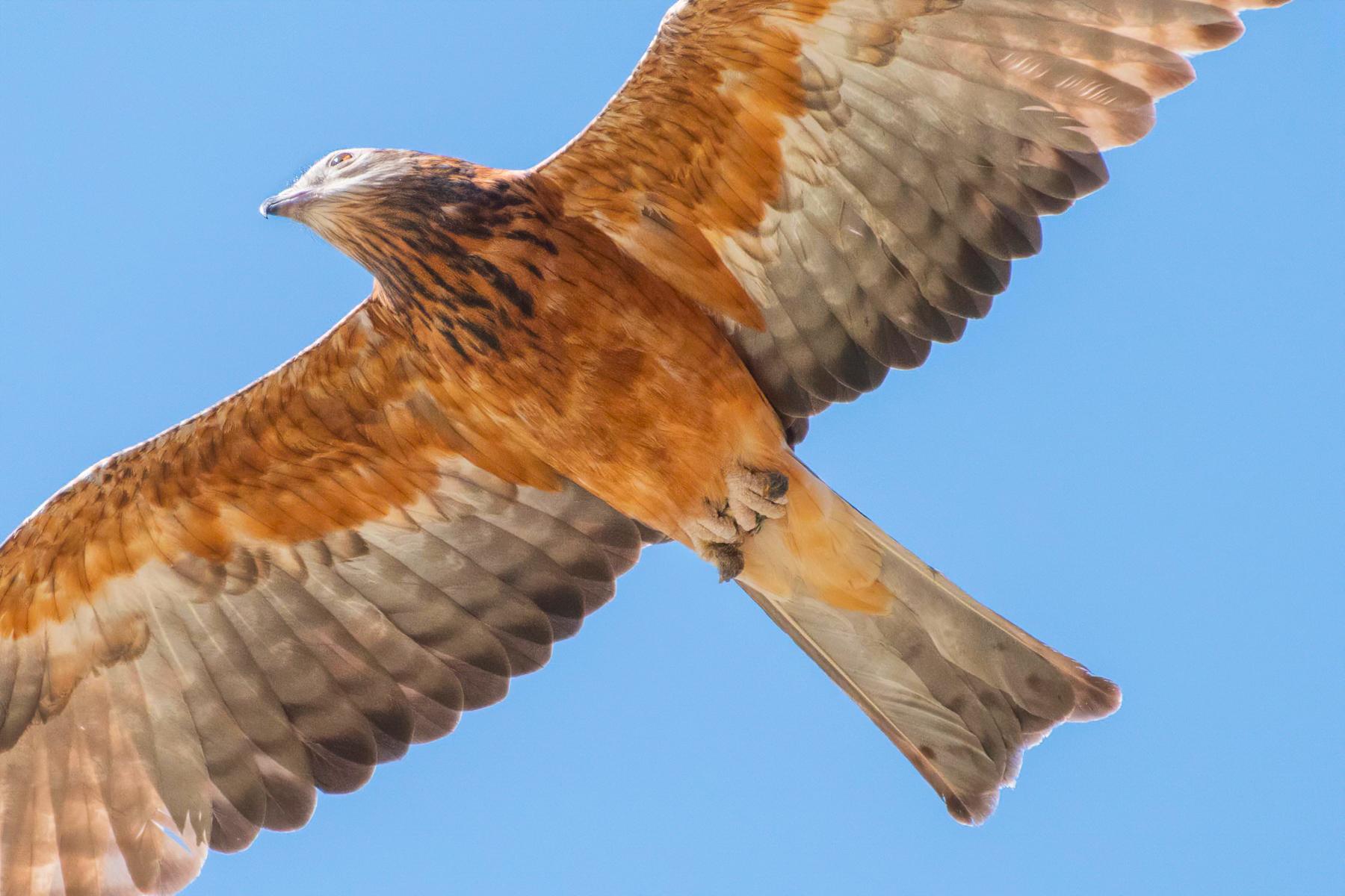 Square-tailed Kite (Image ID 42139)