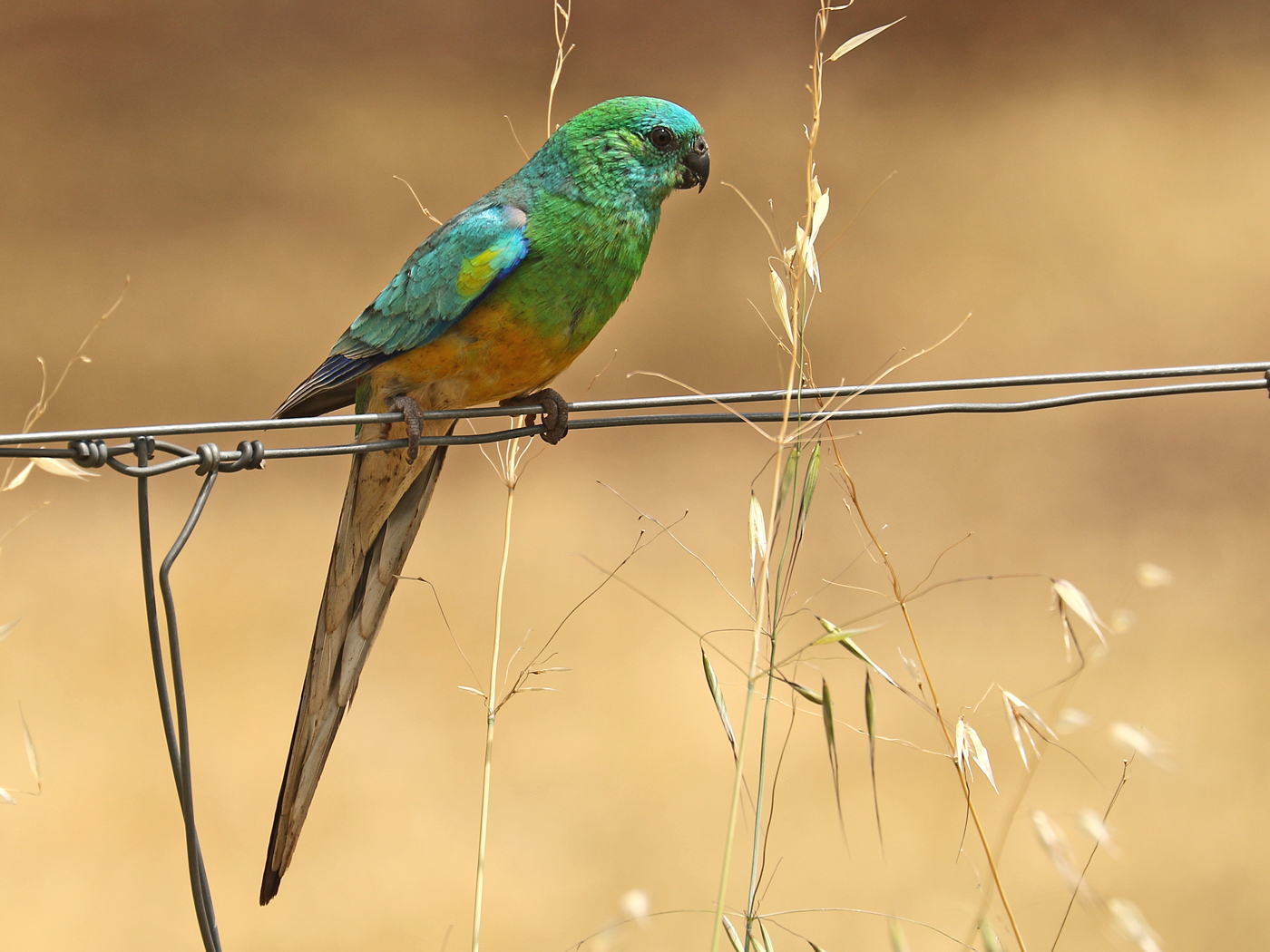 Red-rumped Parrot (Image ID 42137)