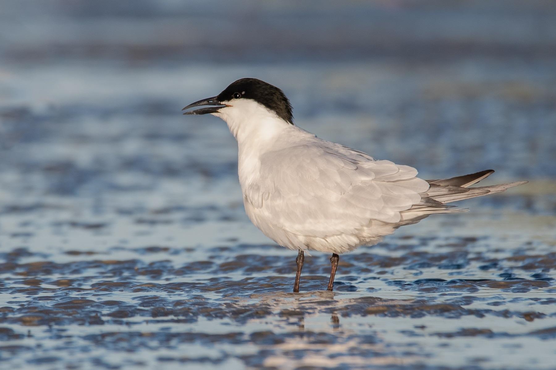 Australian Gull-billed Tern (Image ID 42147)