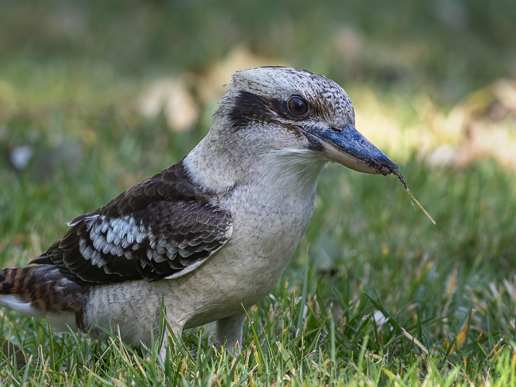 Laughing Kookaburra (Image ID 42157)