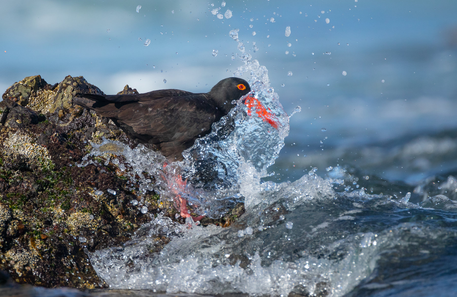 Sooty Oystercatcher (Image ID 42155)