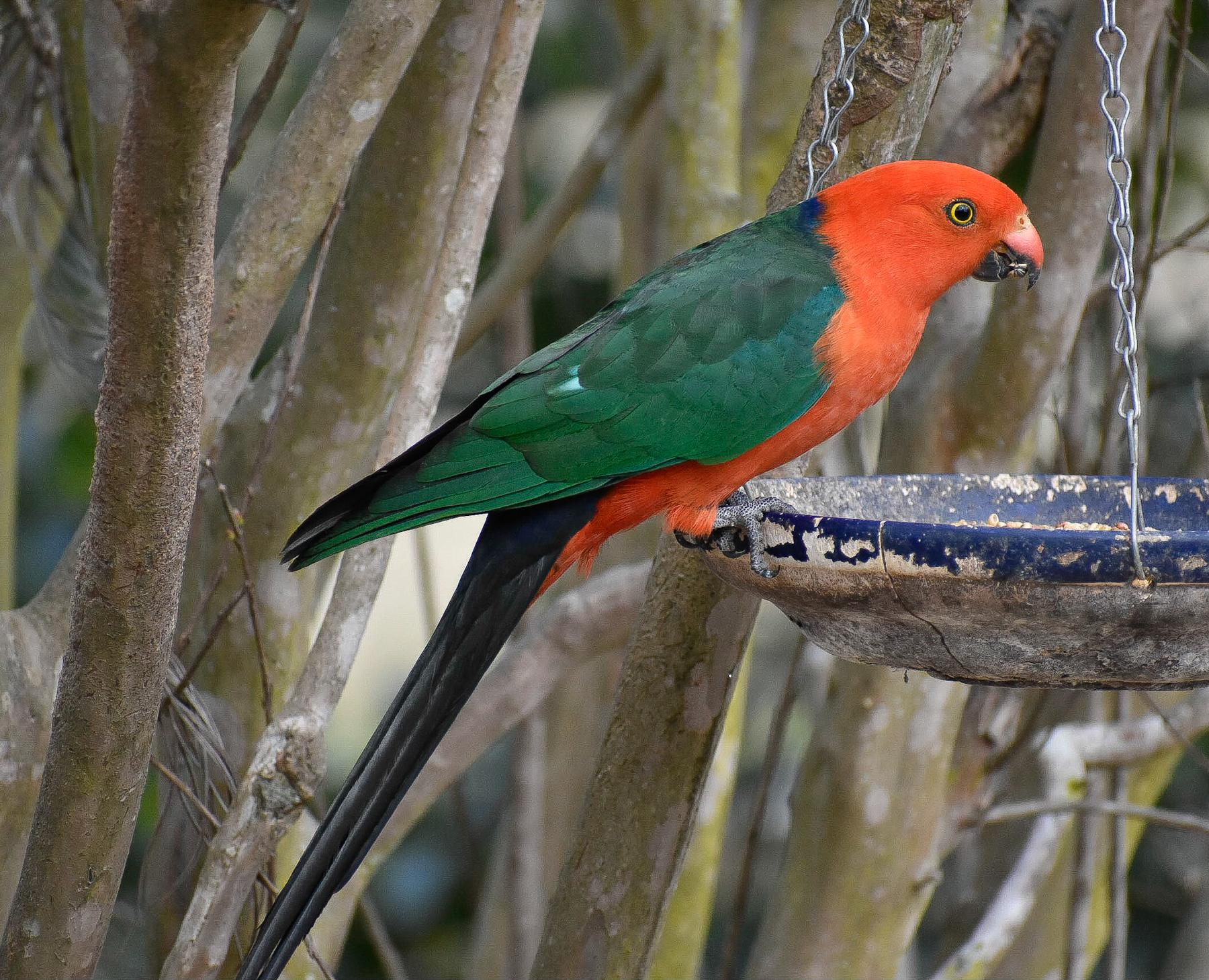Australian King-Parrot (Image ID 42116)