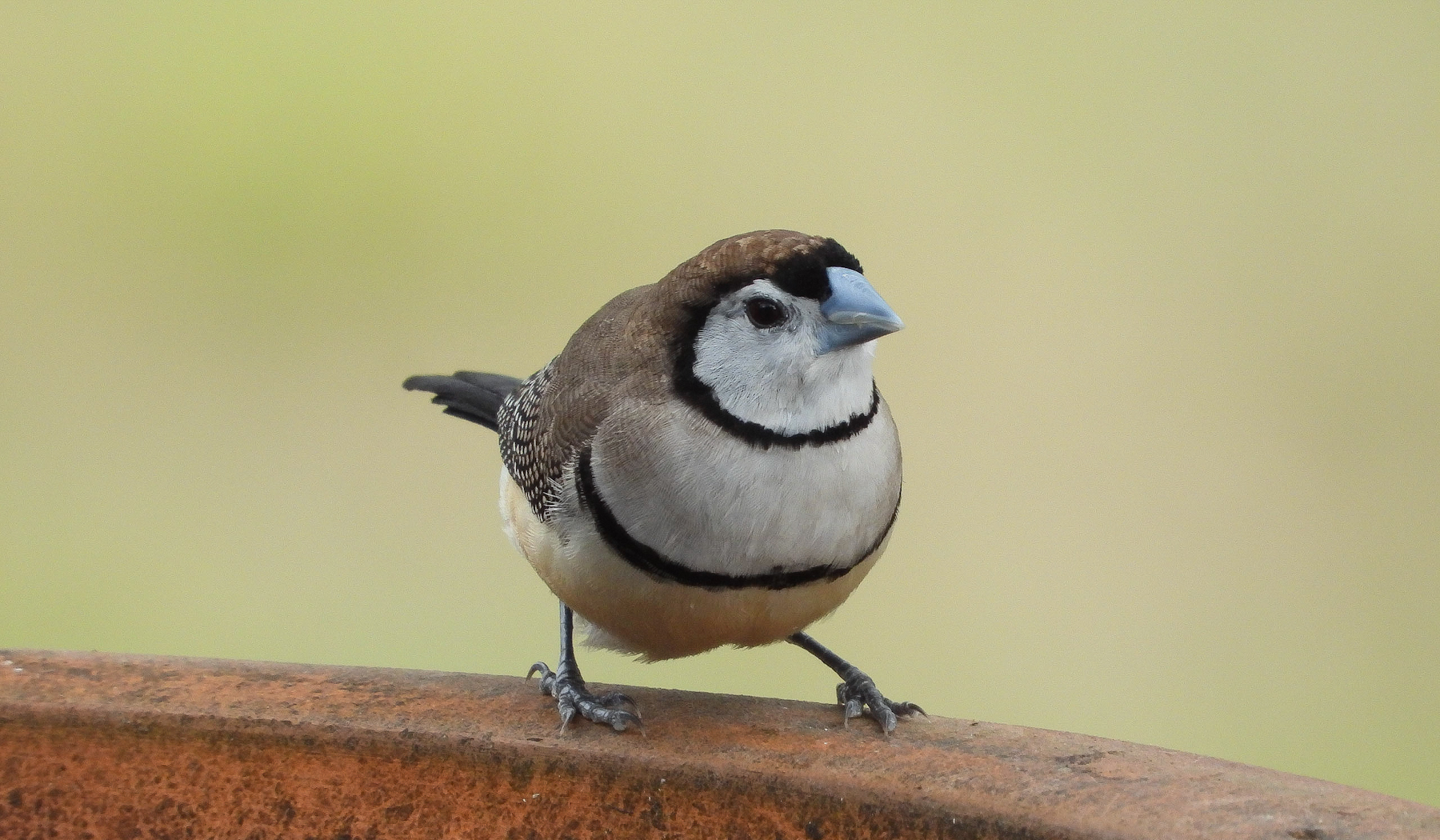 Double-barred Finch (Image ID 42148)