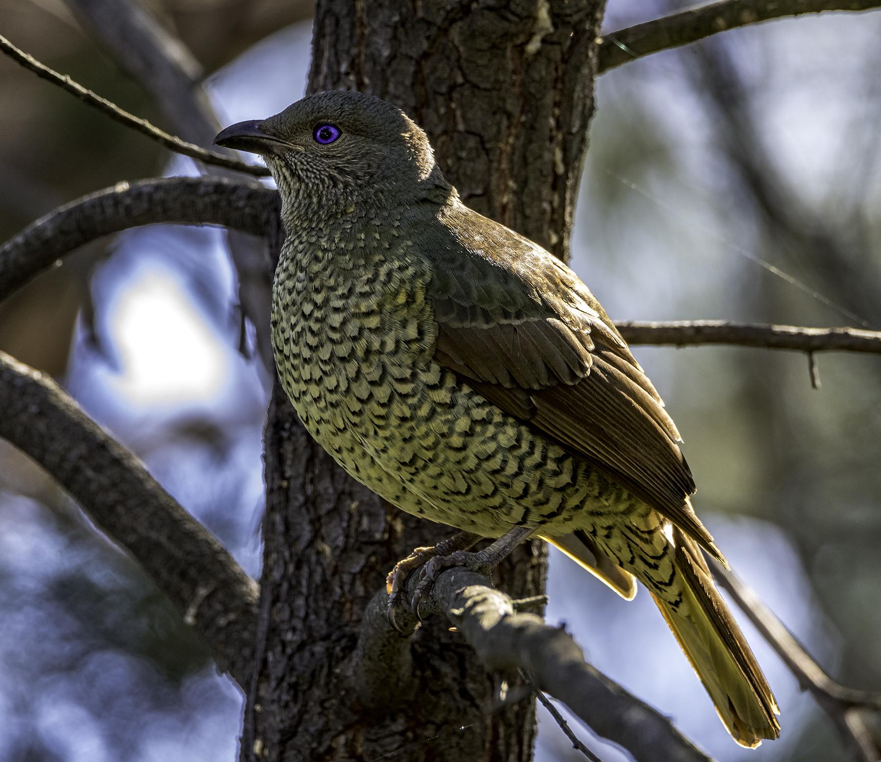 Satin Bowerbird (Image ID 42129)
