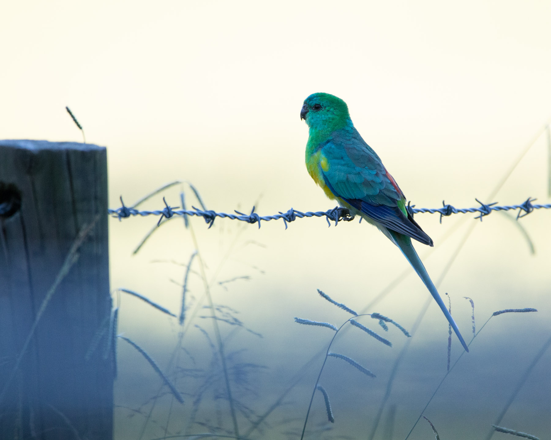 Red-rumped Parrot (Image ID 42067)