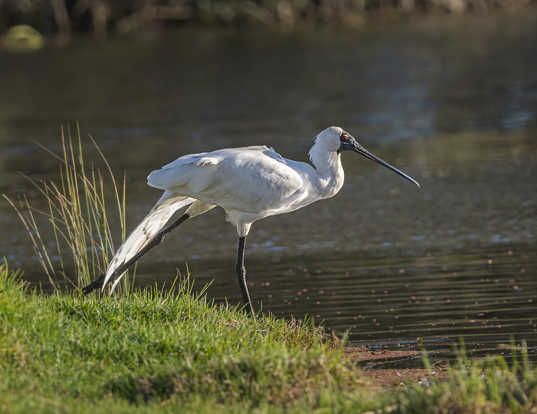 Royal Spoonbill (Image ID 41994)