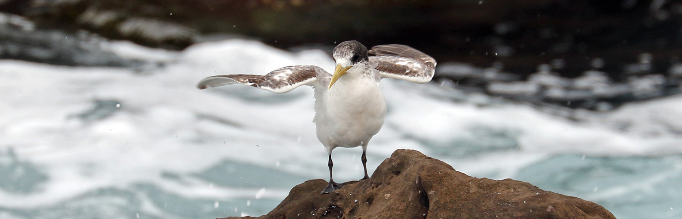 Greater Crested Tern (Image ID 42040)