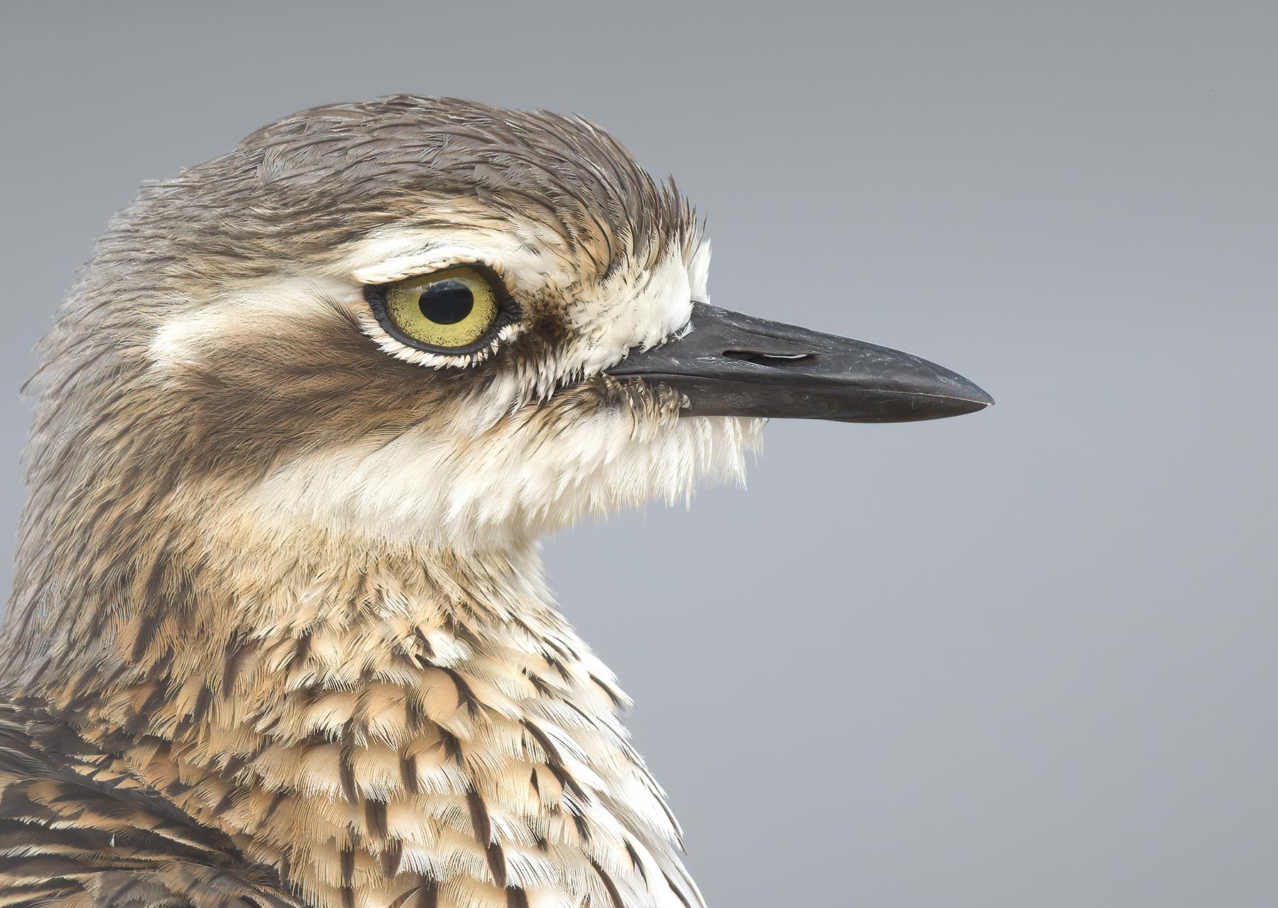Bush Stone-curlew (Image ID 41750)