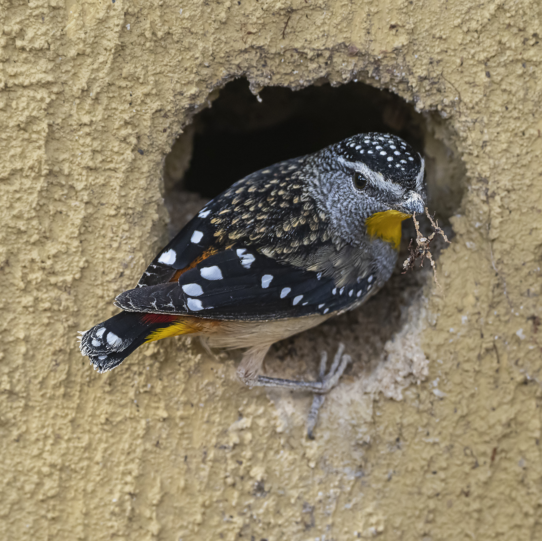 Spotted Pardalote (Image ID 41946)