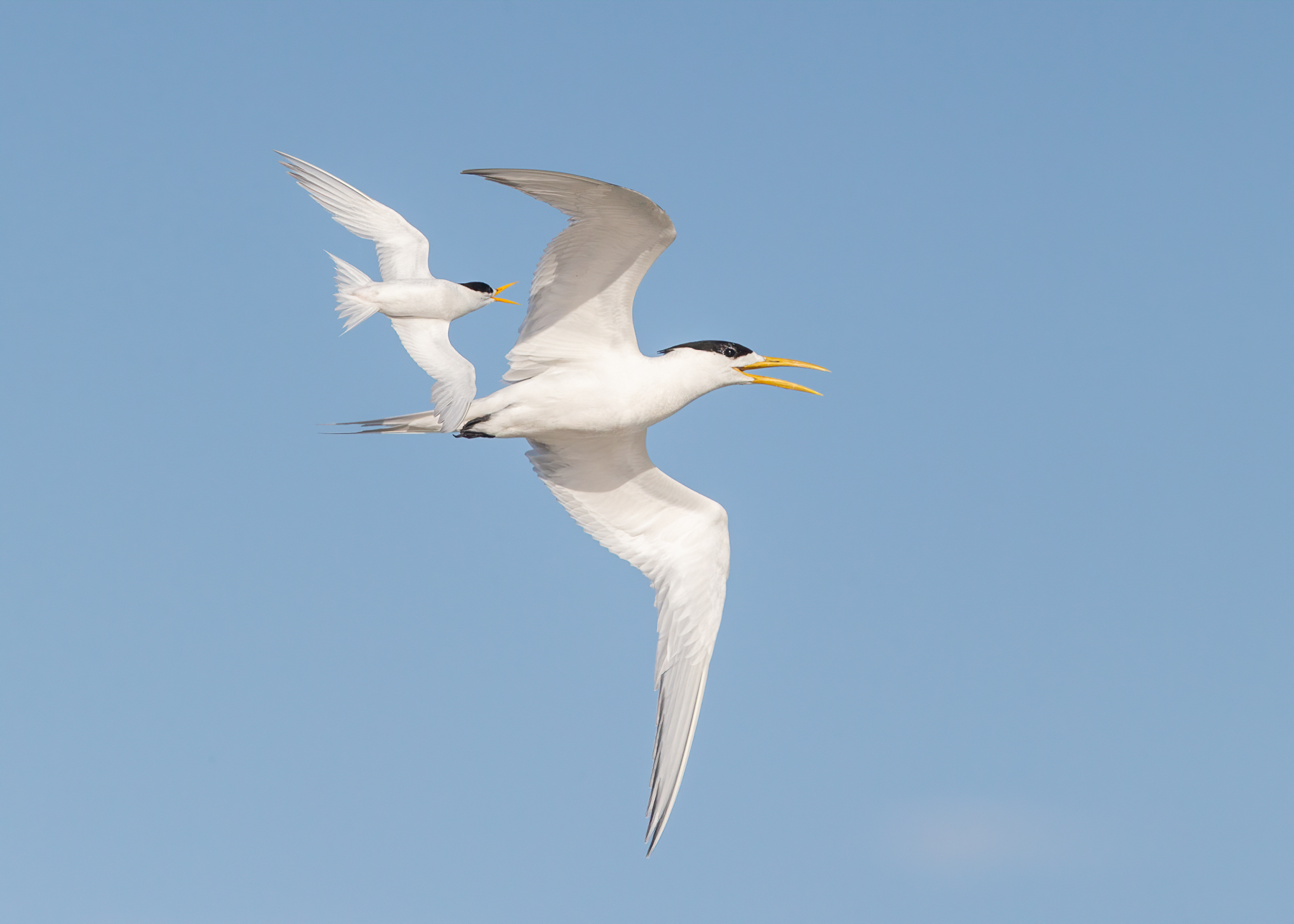 Fairy Tern, Greater Crested Tern (Image ID 41851)