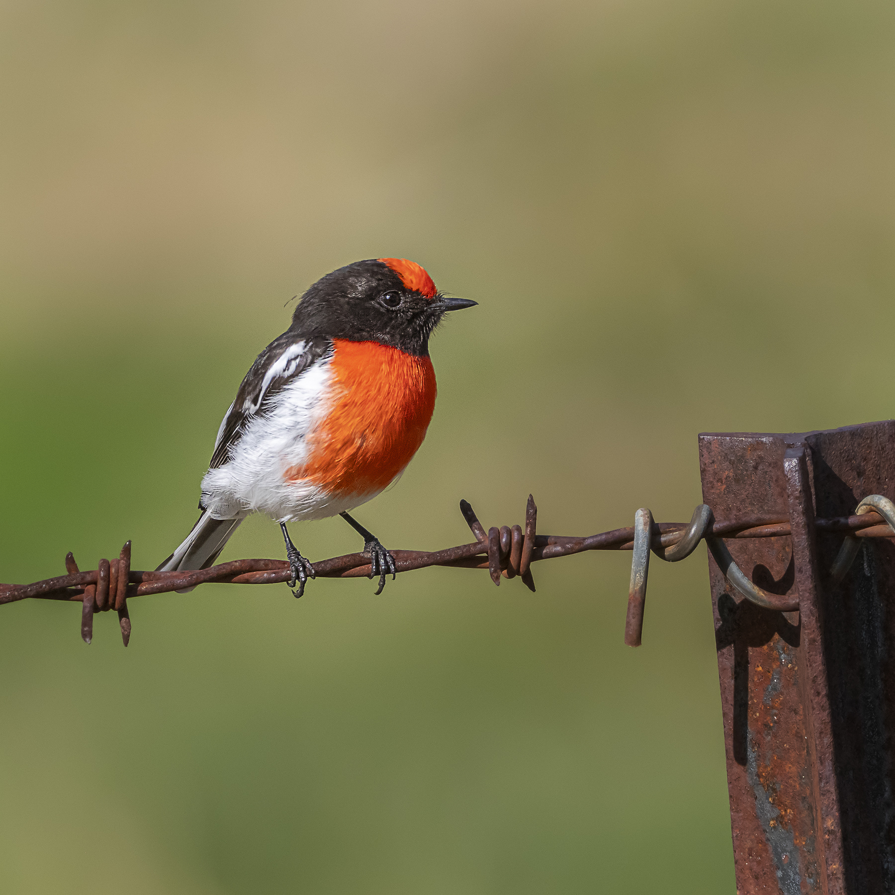 Red-capped Robin (Image ID 41998)
