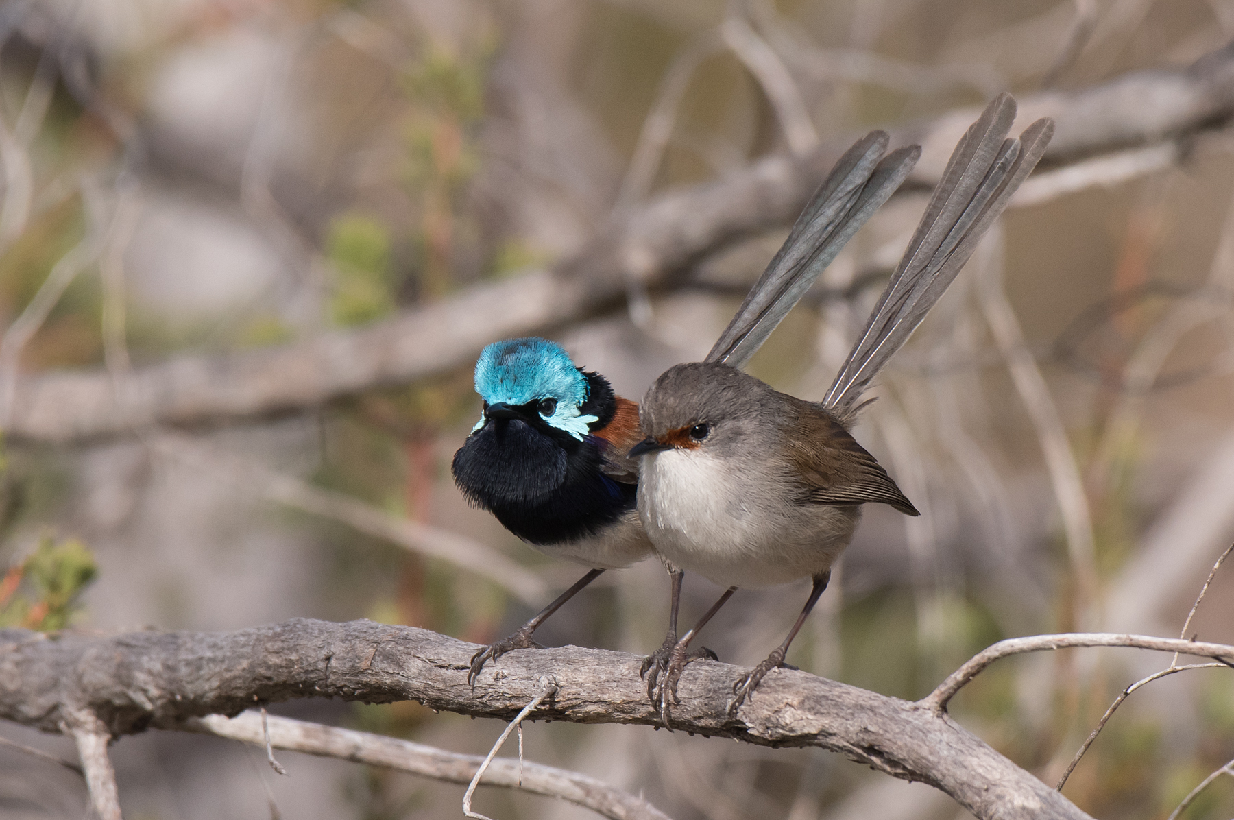 Red-winged Fairy-wren (Image ID 41997)