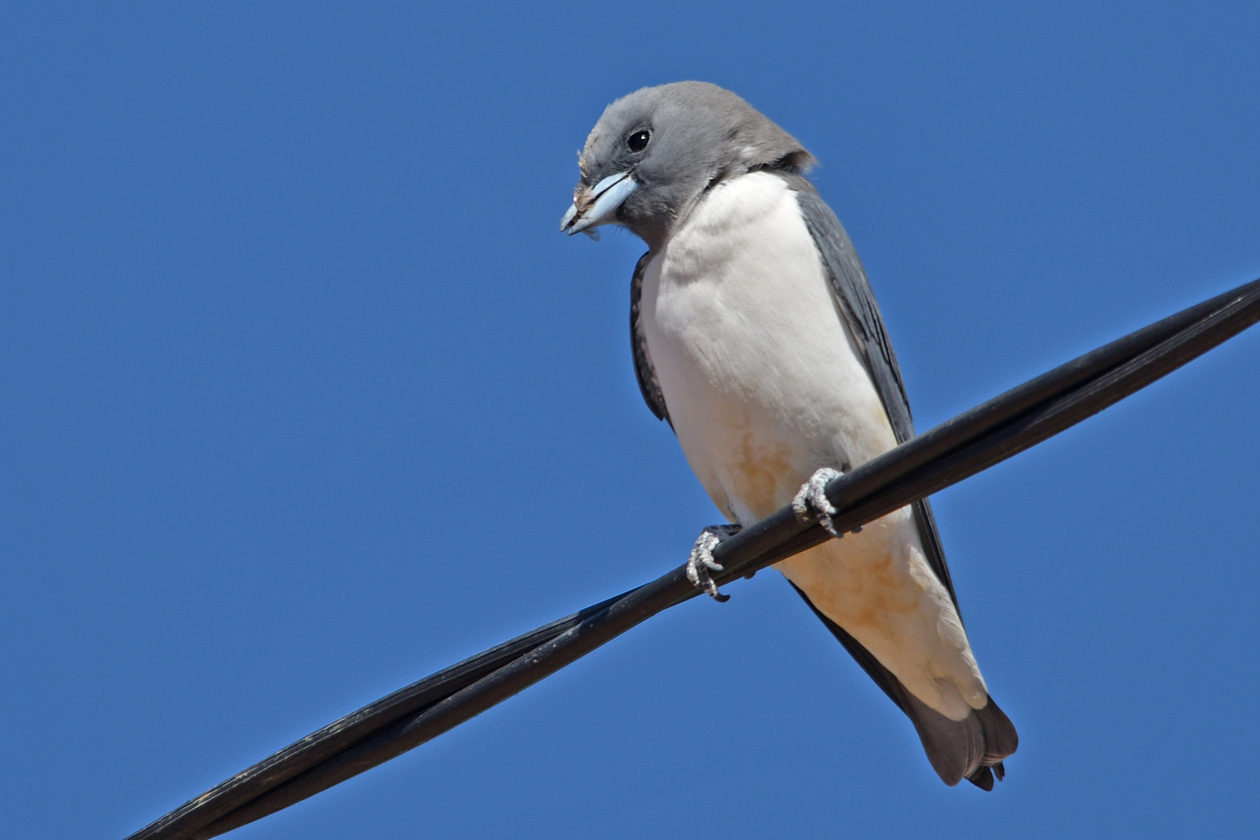 White-breasted Woodswallow (Image ID 41813)
