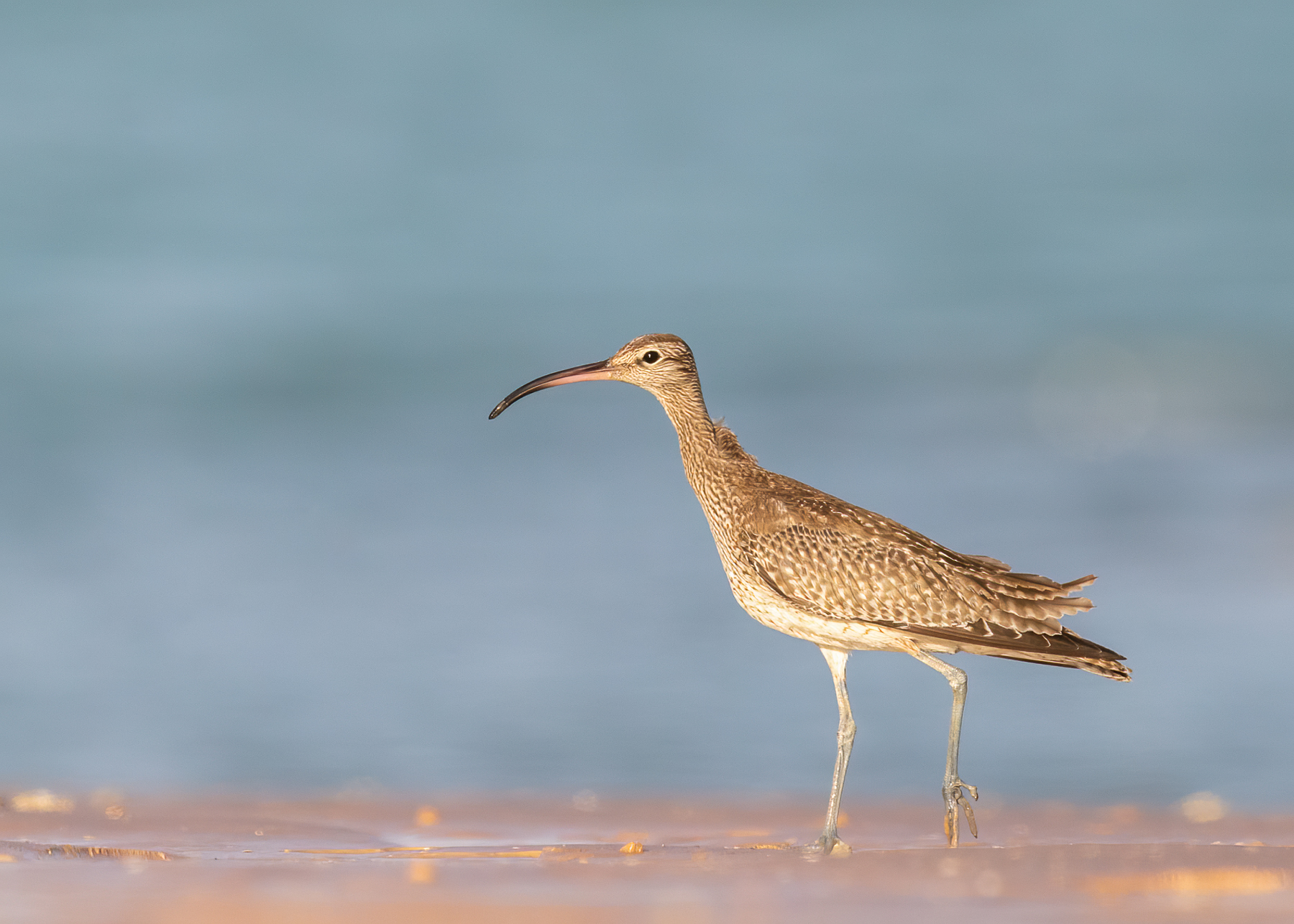 Whimbrel (Image ID 41889)