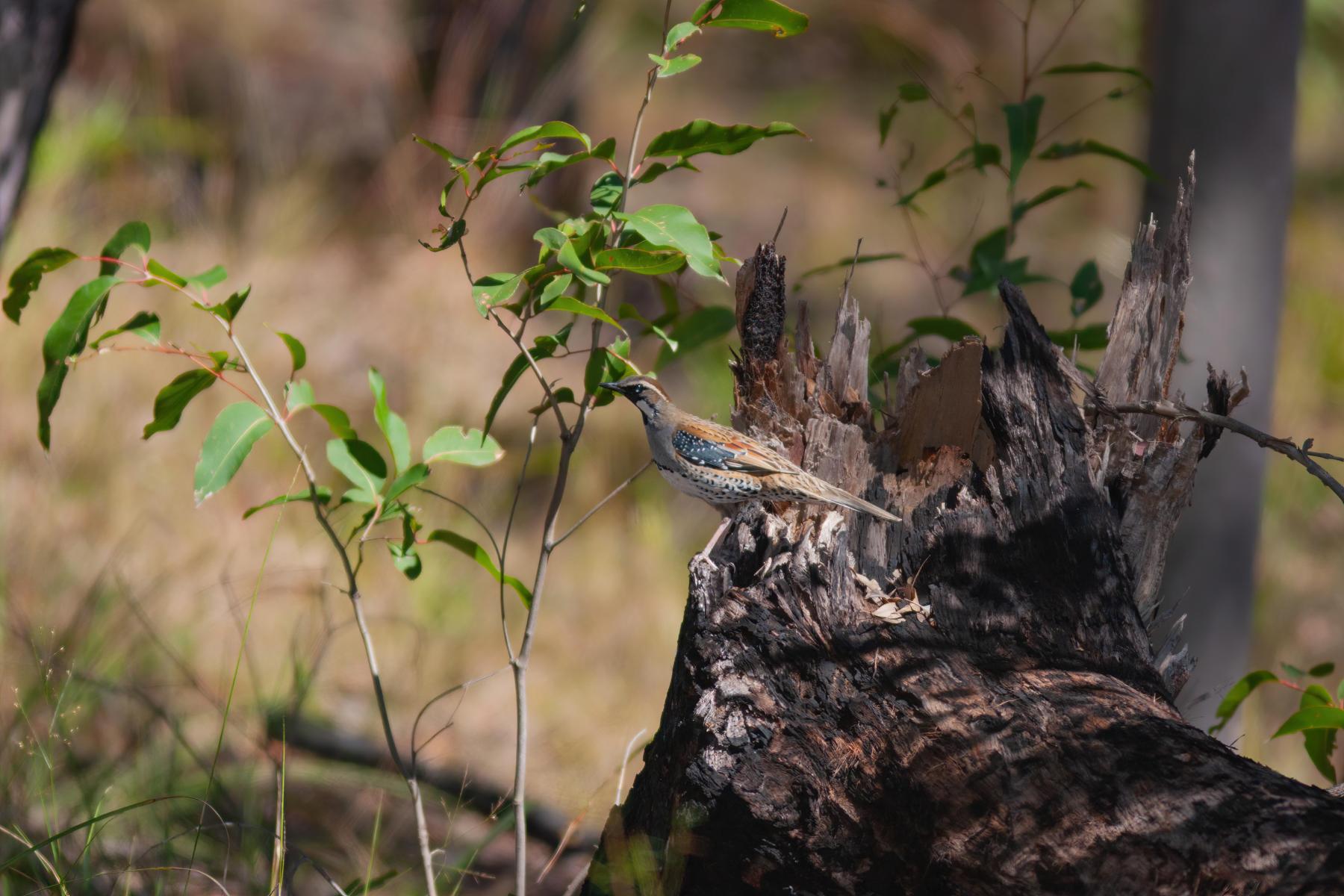 Spotted Quail-thrush (Image ID 41859)