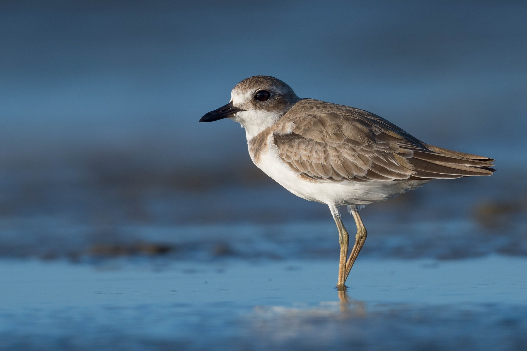 Greater Sand Plover (Image ID 41938)