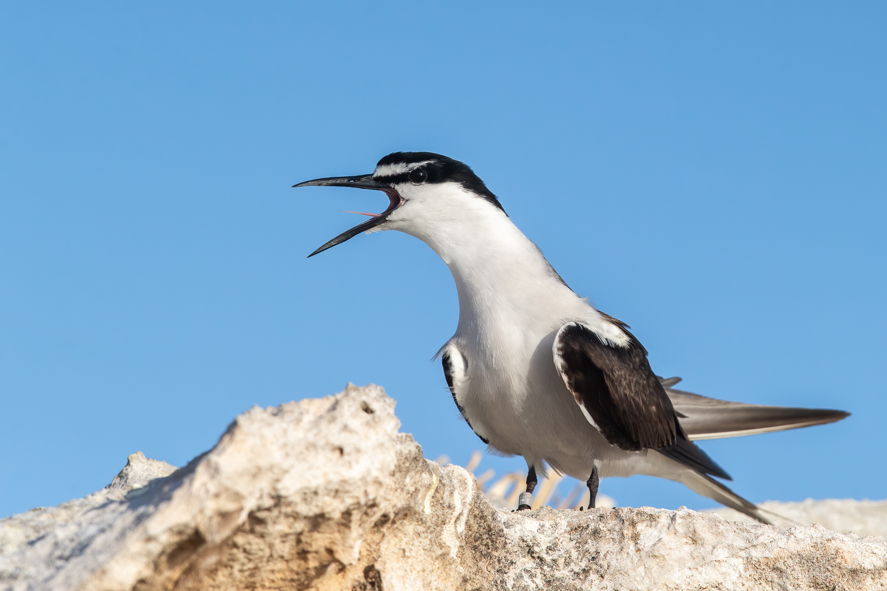 Bridled Tern (Image ID 41849)
