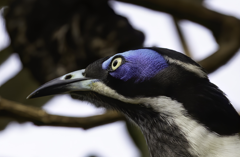 Blue-faced Honeyeater (Image ID 41737)