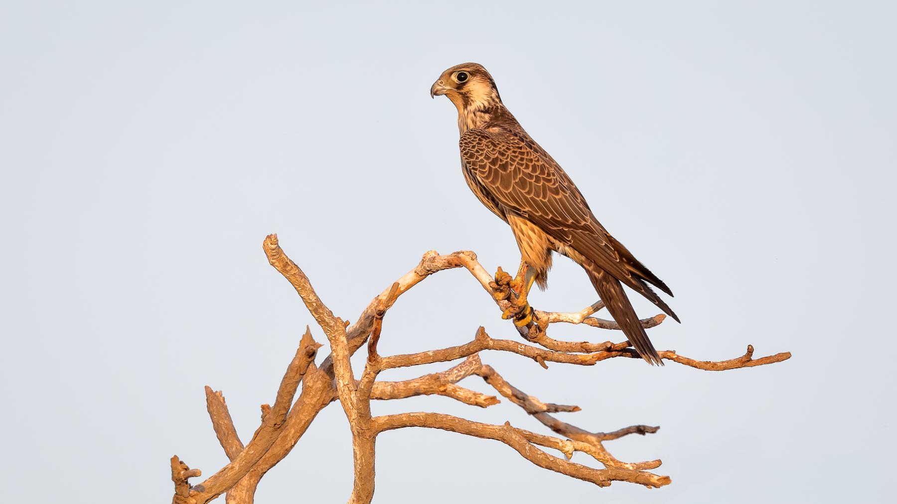 Peregrine Falcon (Image ID 41602)