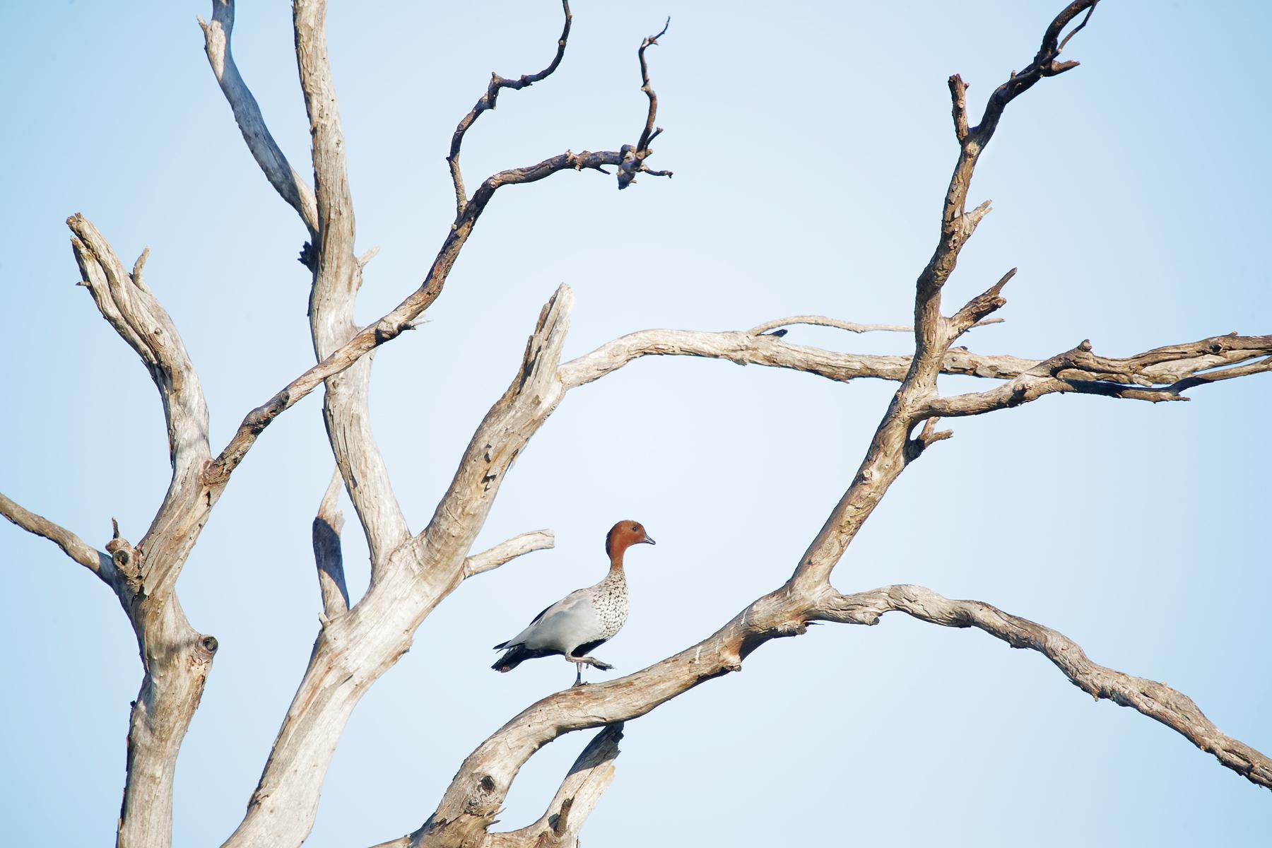 Australian Wood Duck (Image ID 41777)