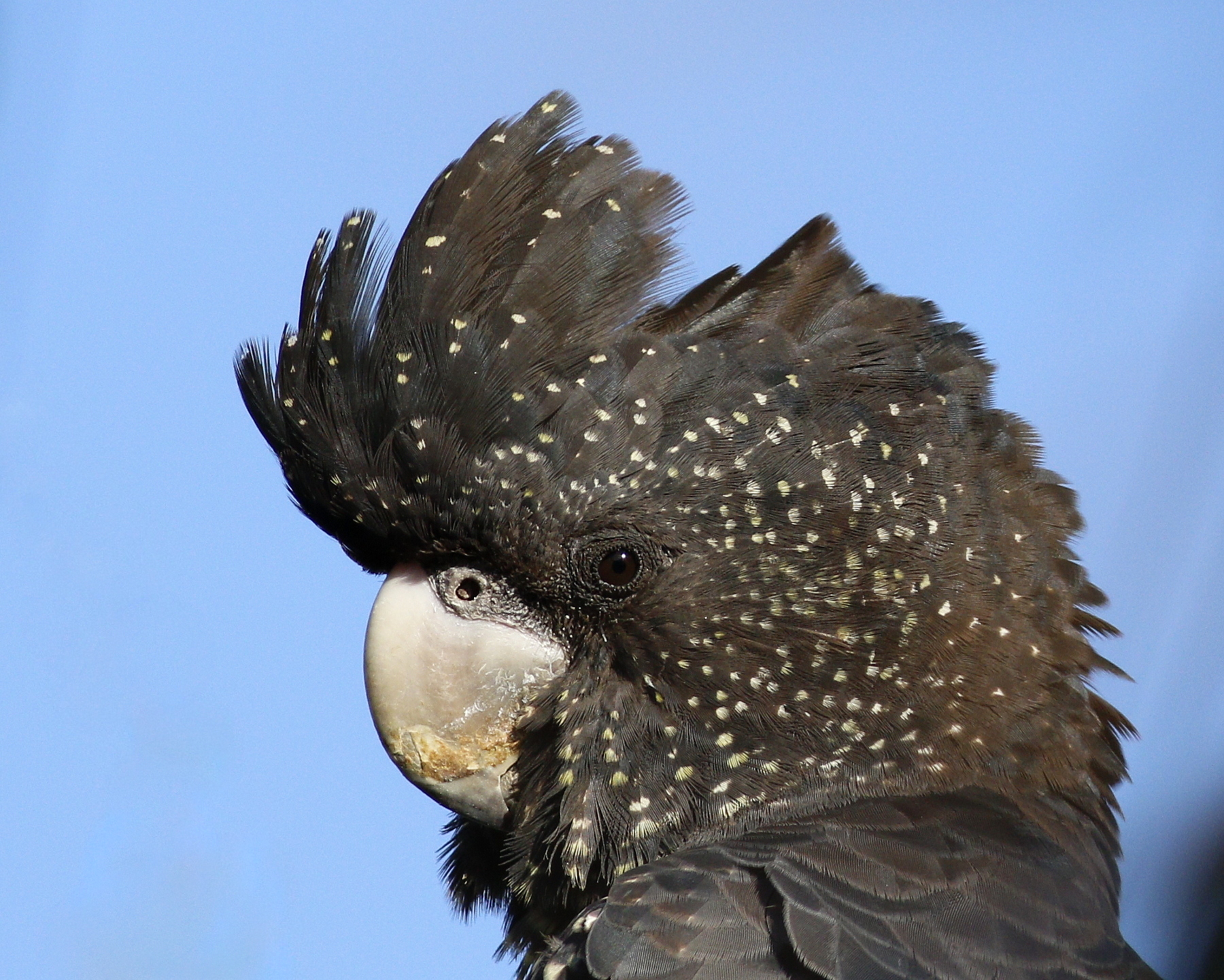 Red-tailed Black-Cockatoo (Image ID 41629)