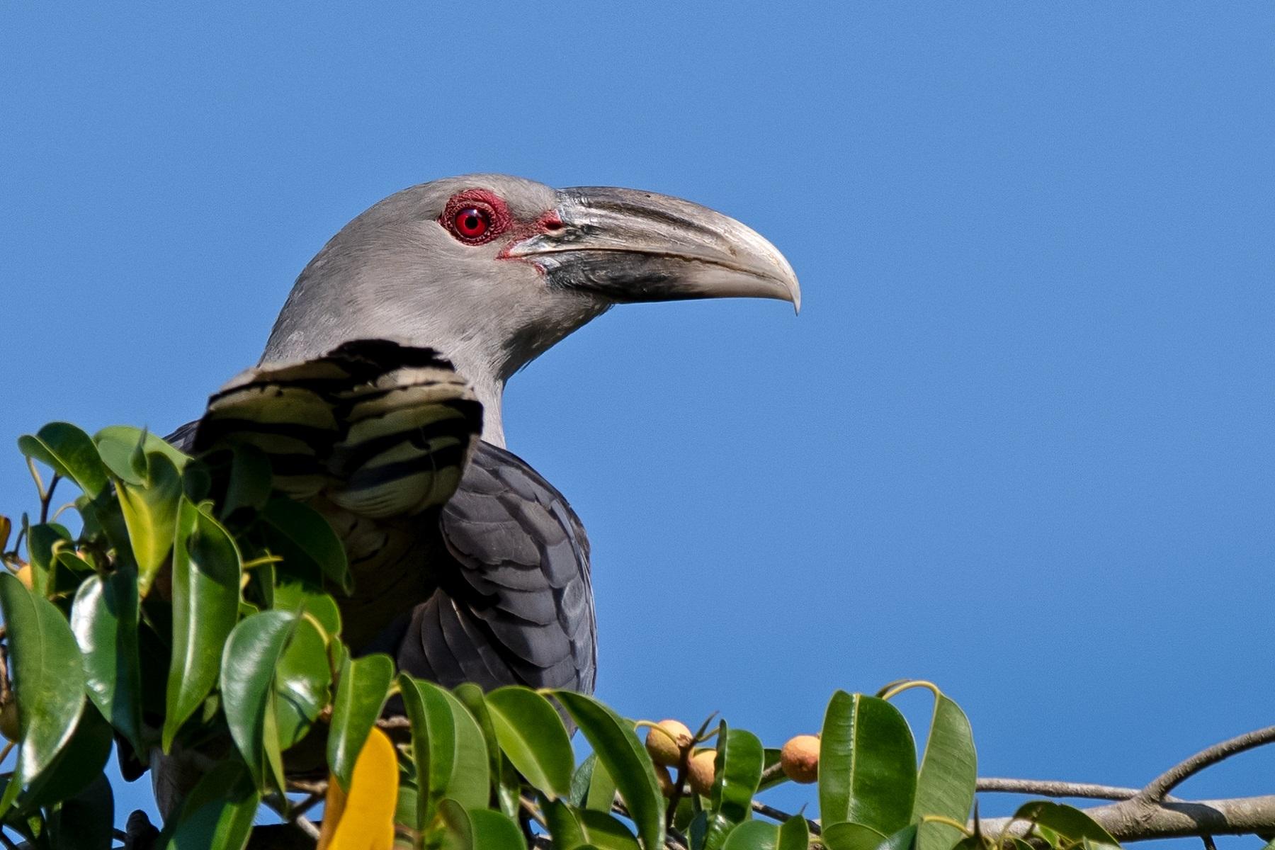Channel-billed Cuckoo (Image ID 41807)