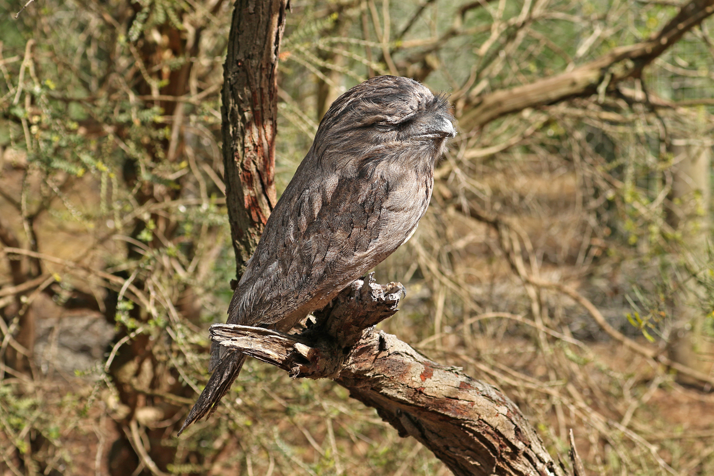 Tawny Frogmouth (Image ID 41963)