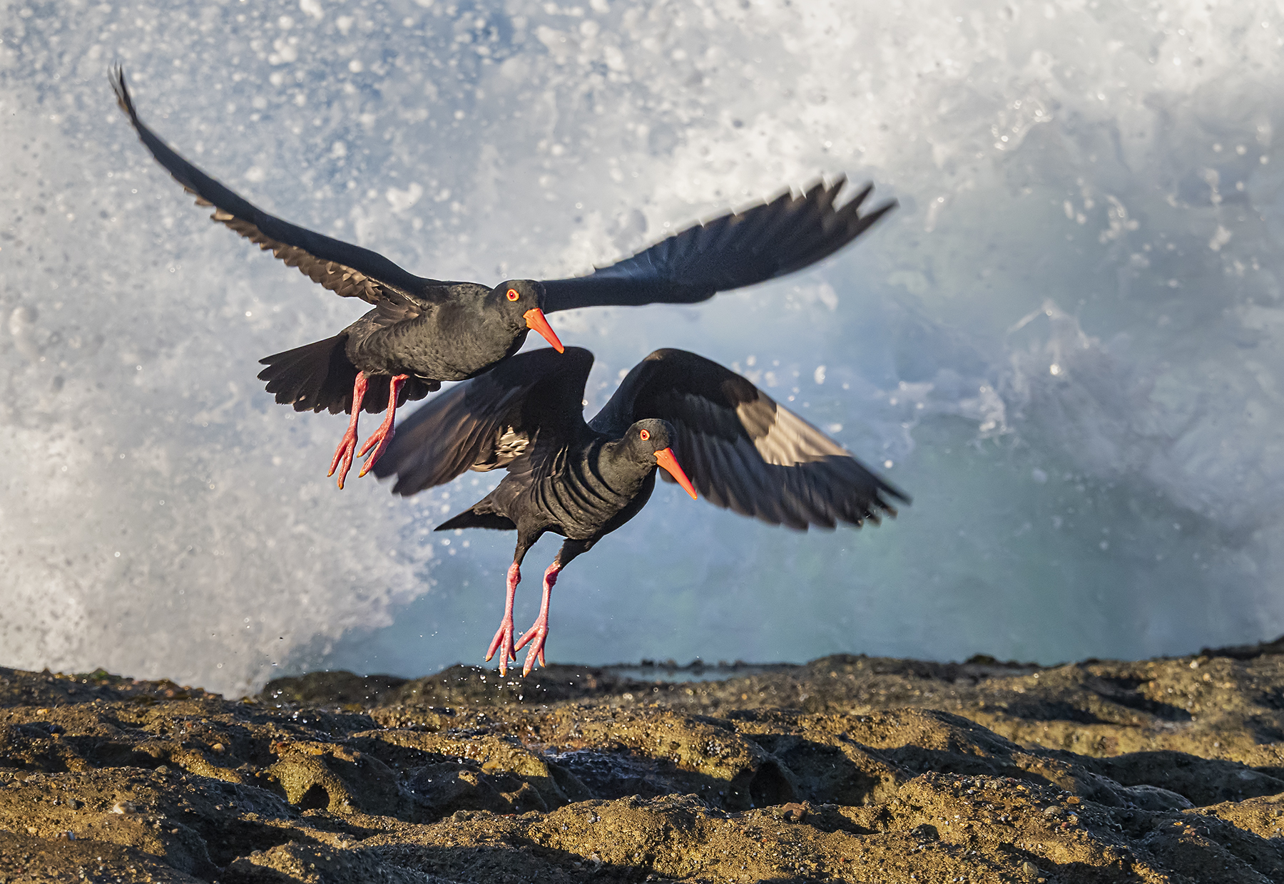 Sooty Oystercatcher (Image ID 41754)