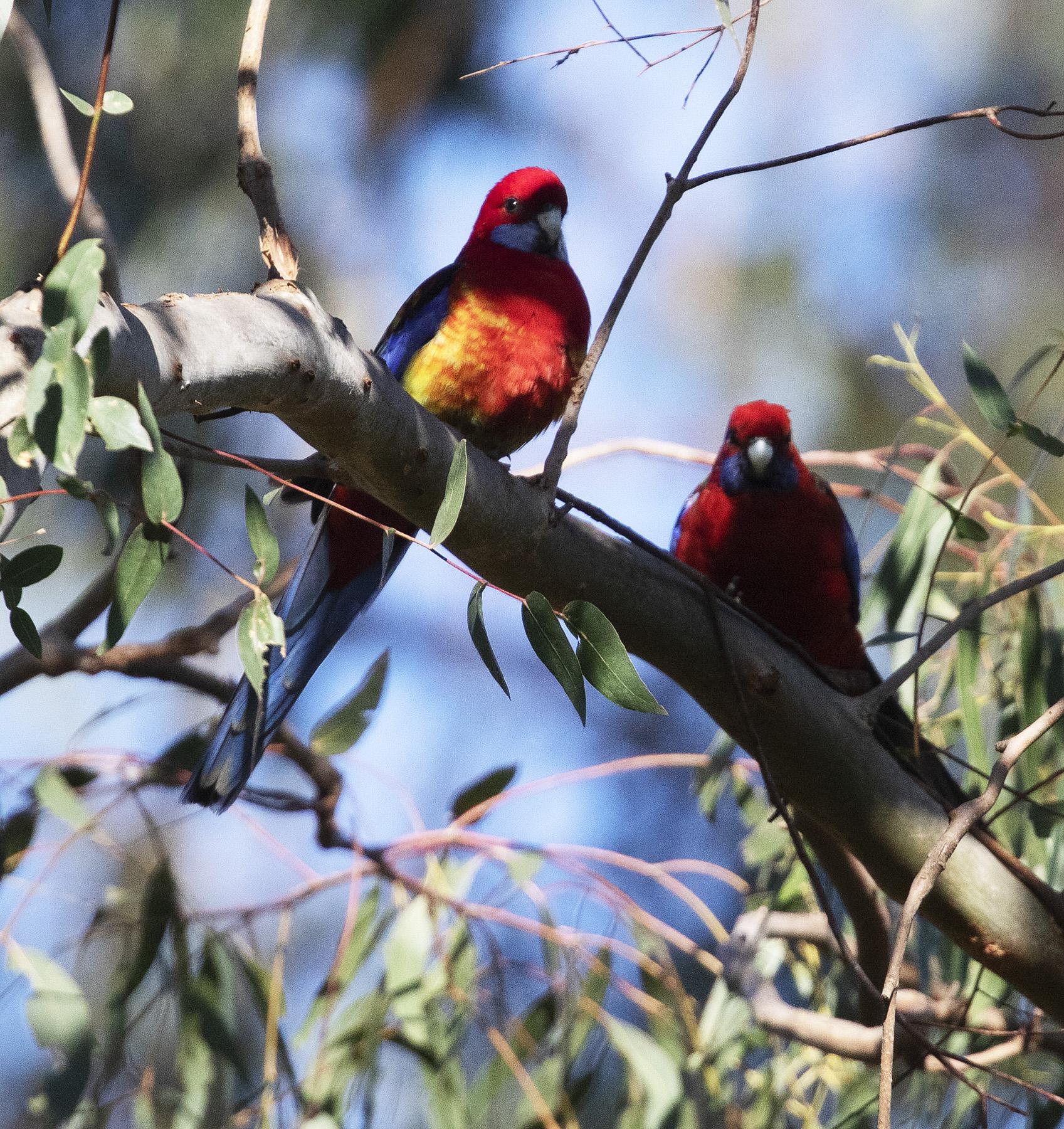 Crimson Rosella, Eastern Rosella, Hybrid (Image ID 41957)